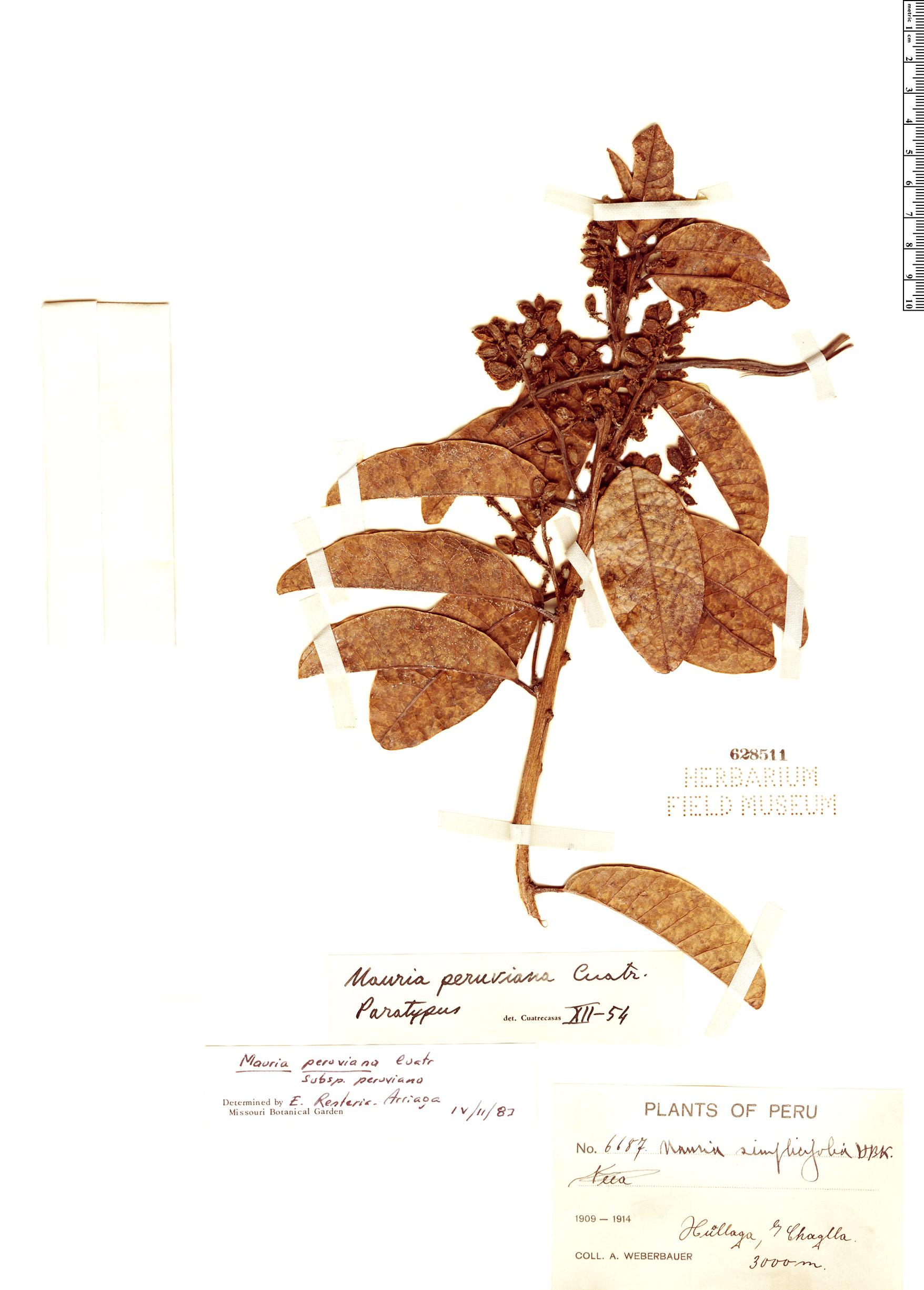 Specimen: Mauria peruviana