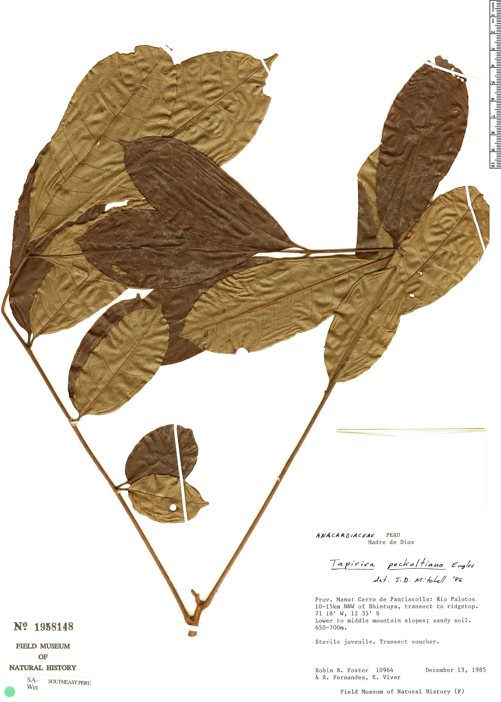 Specimen: Tapirira obtusa