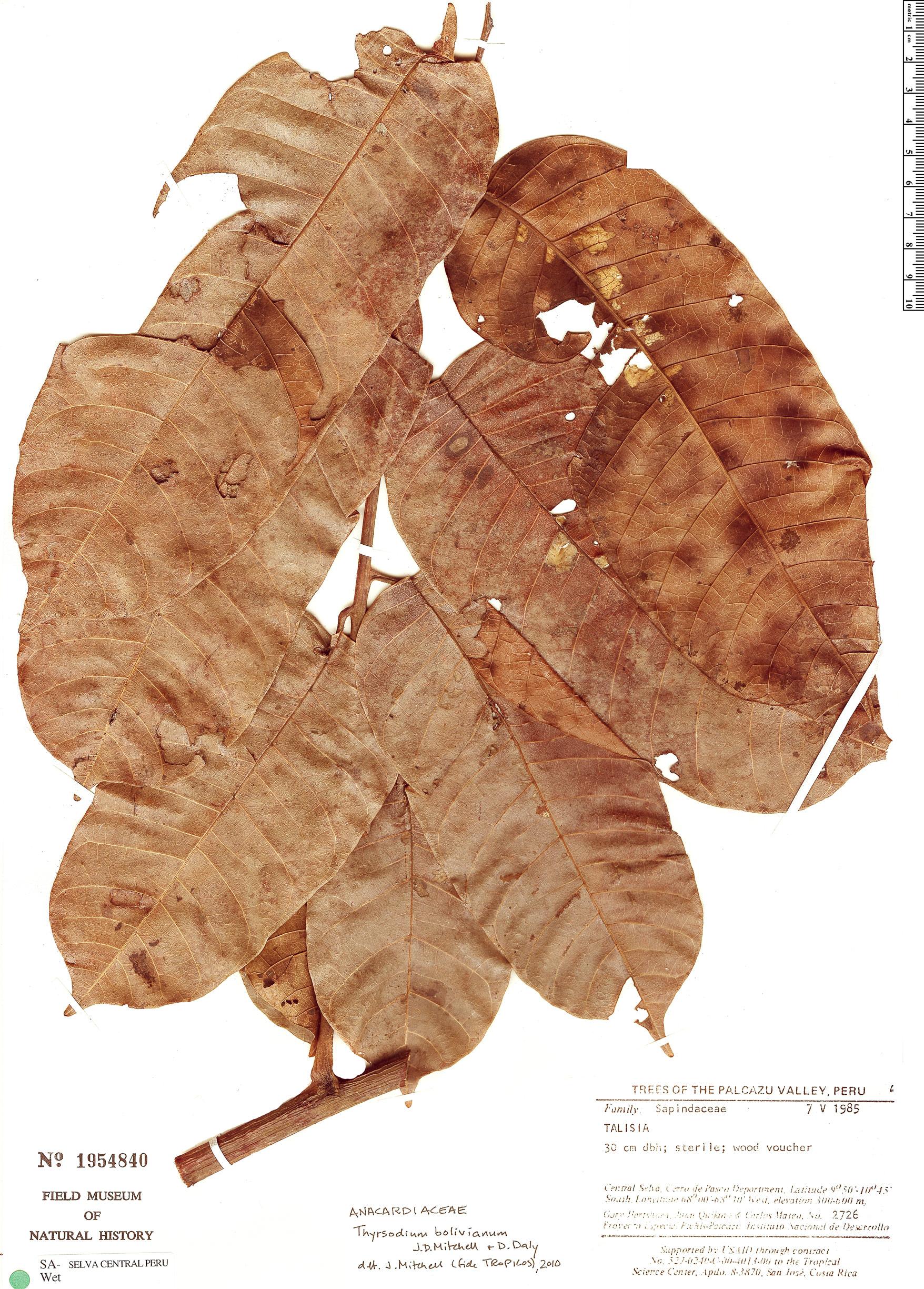 Specimen: Thyrsodium bolivianum
