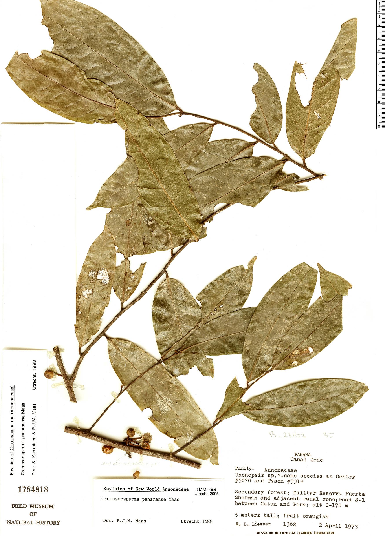 Specimen: Cremastosperma panamense