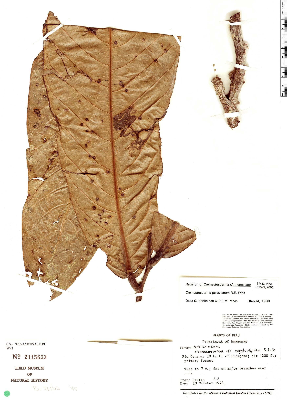 Specimen: Cremastosperma peruvianum
