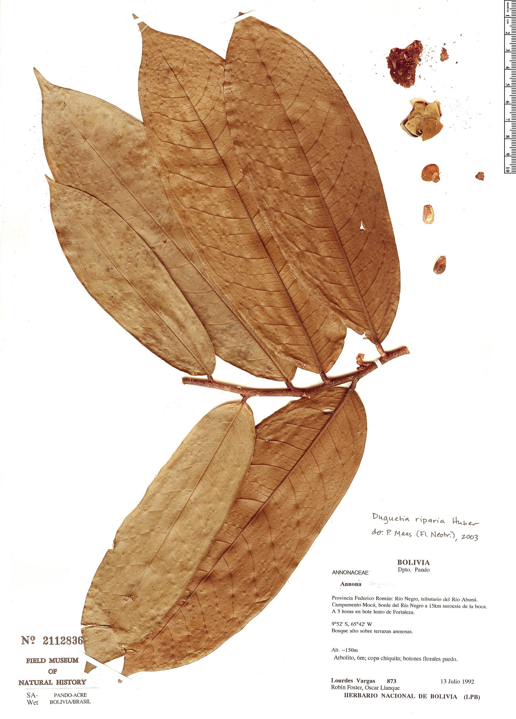 Specimen: Duguetia riparia