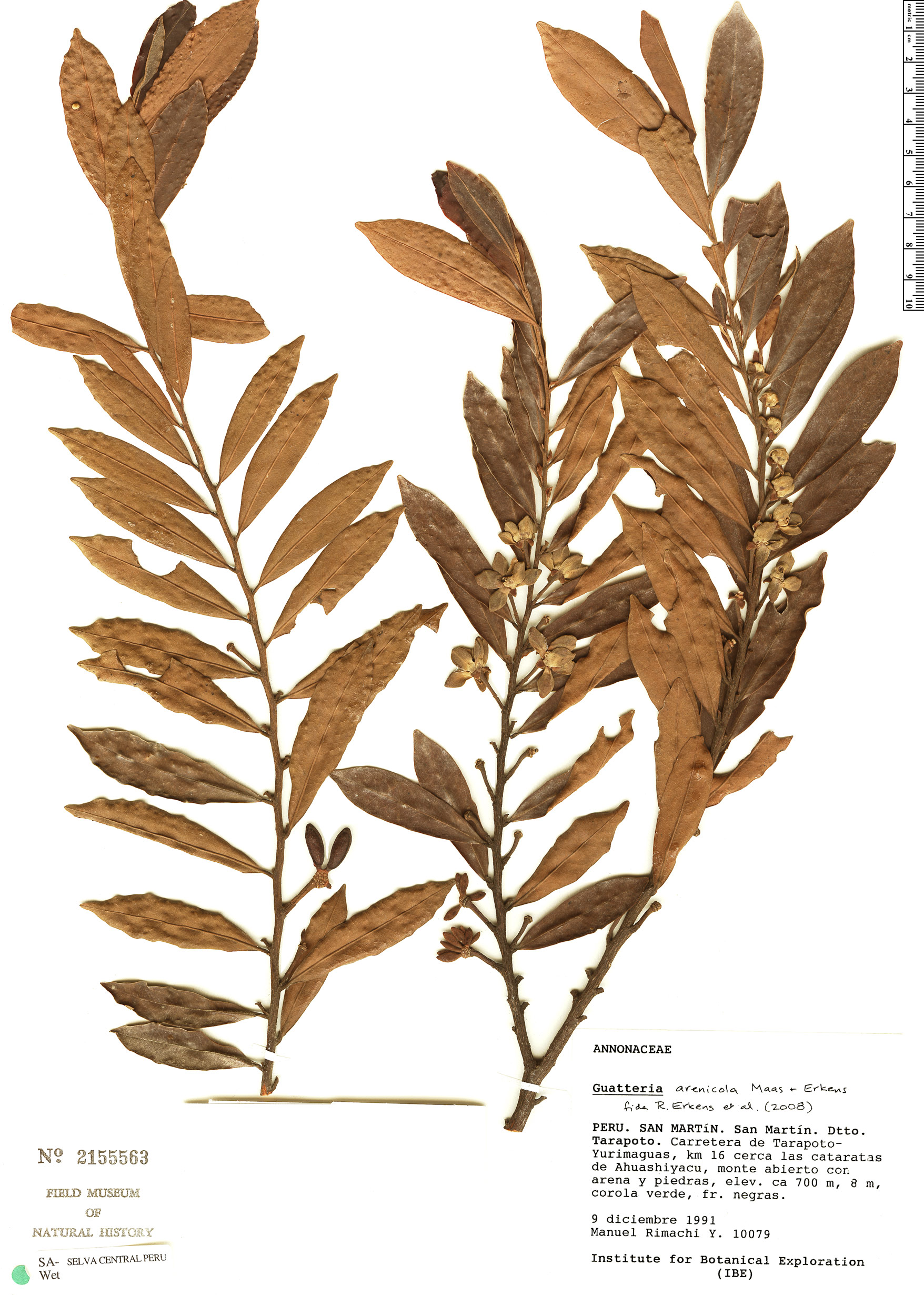 Specimen: Guatteria arenicola