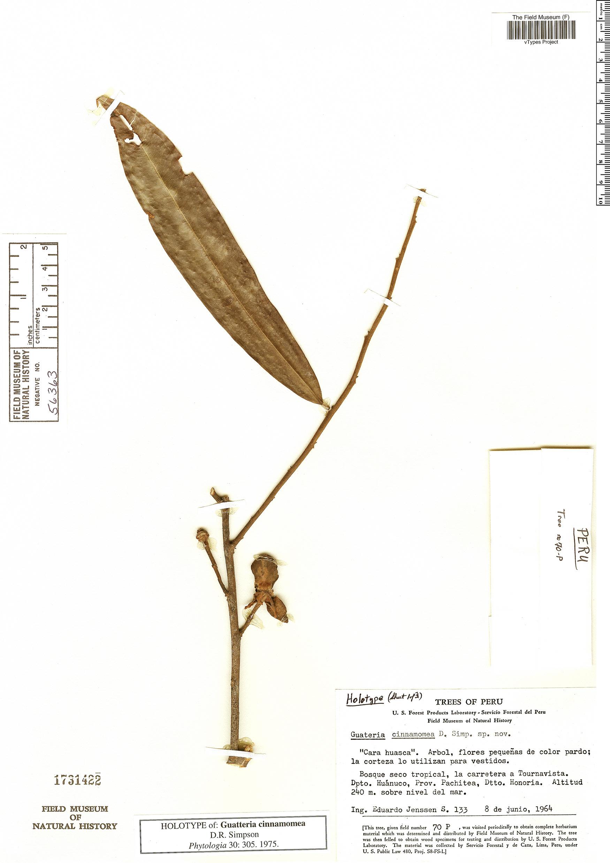 Espécimen: Guatteria cinnamomea