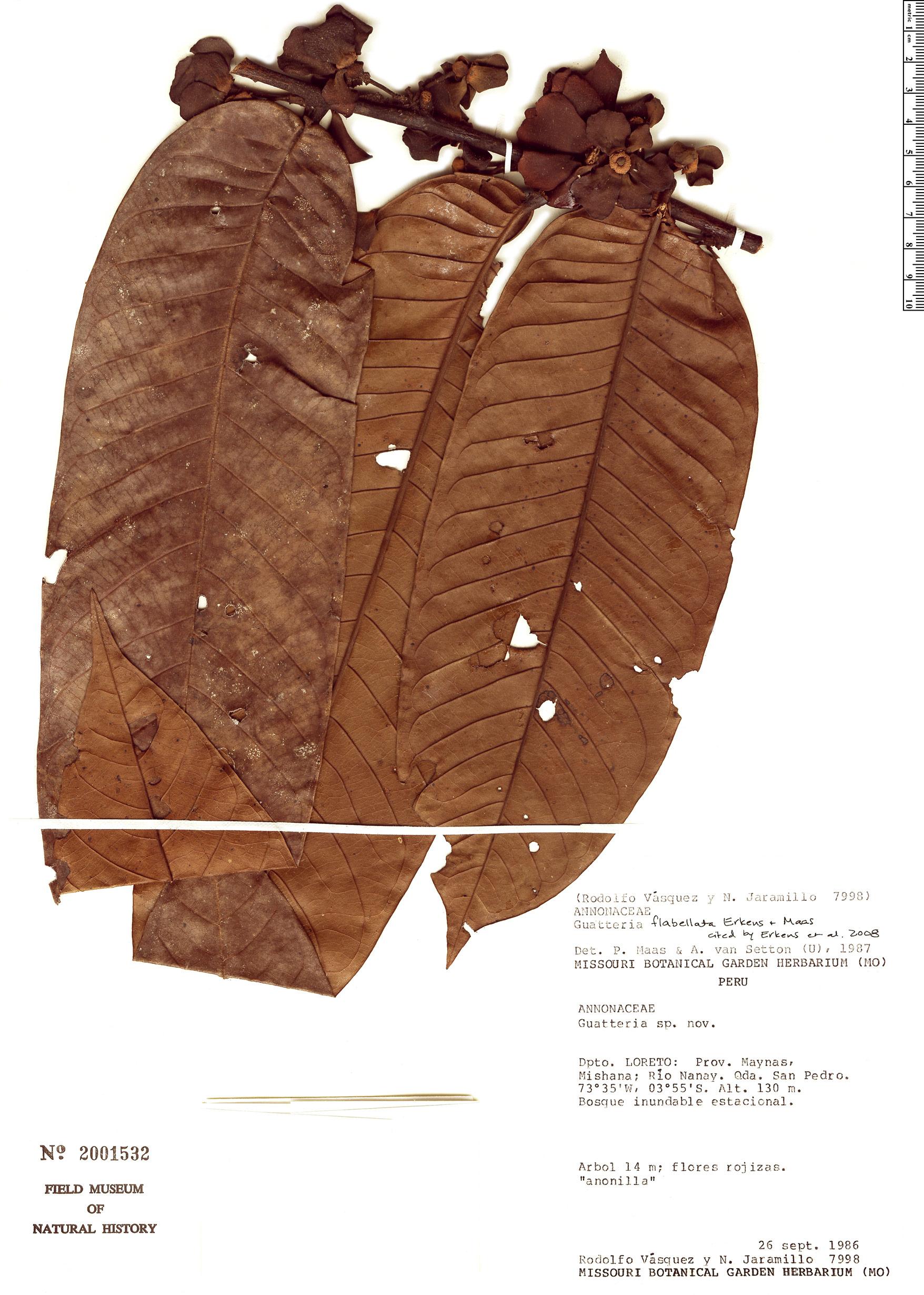 Specimen: Guatteria flabellata