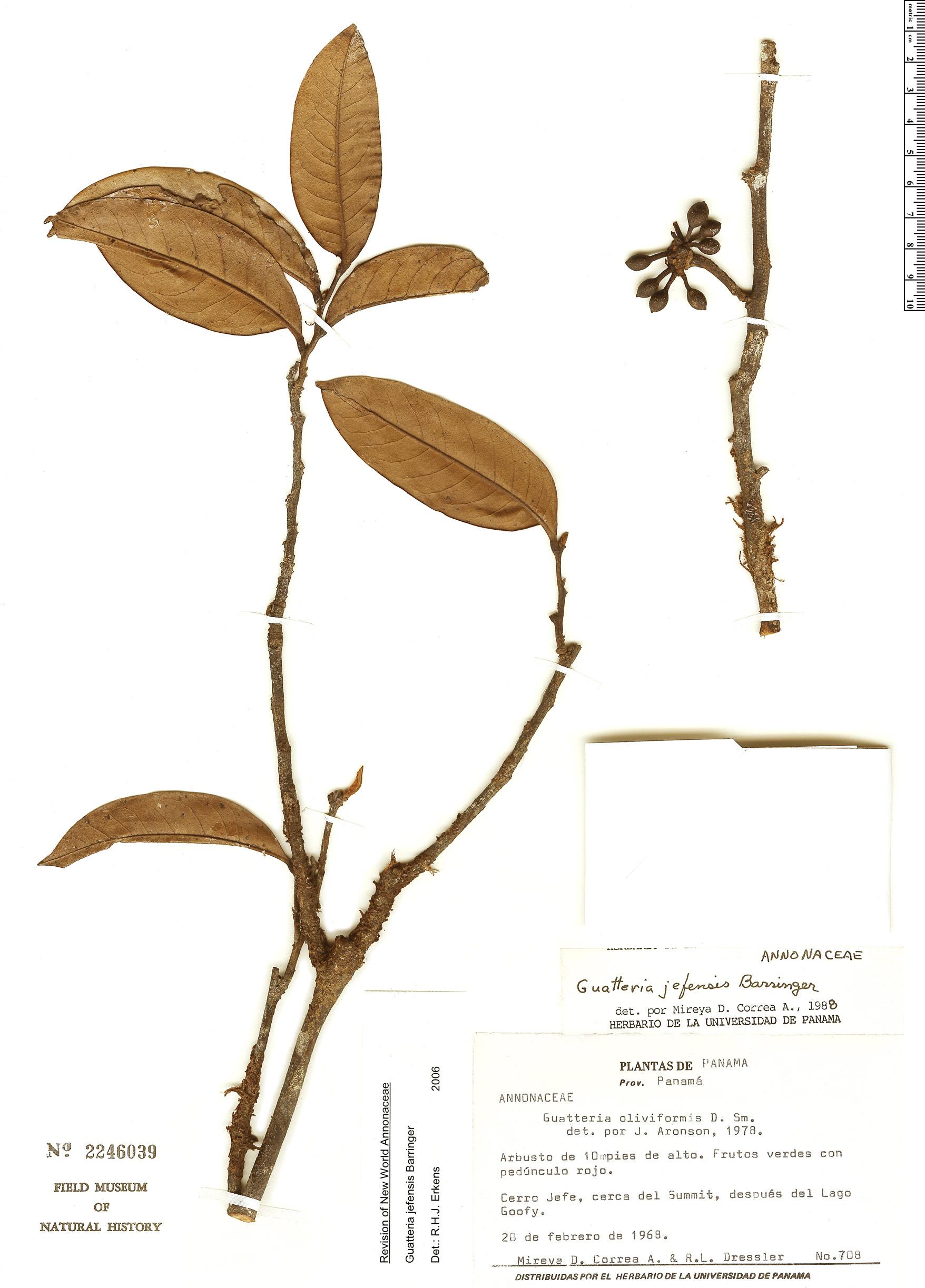 Specimen: Guatteria jefensis