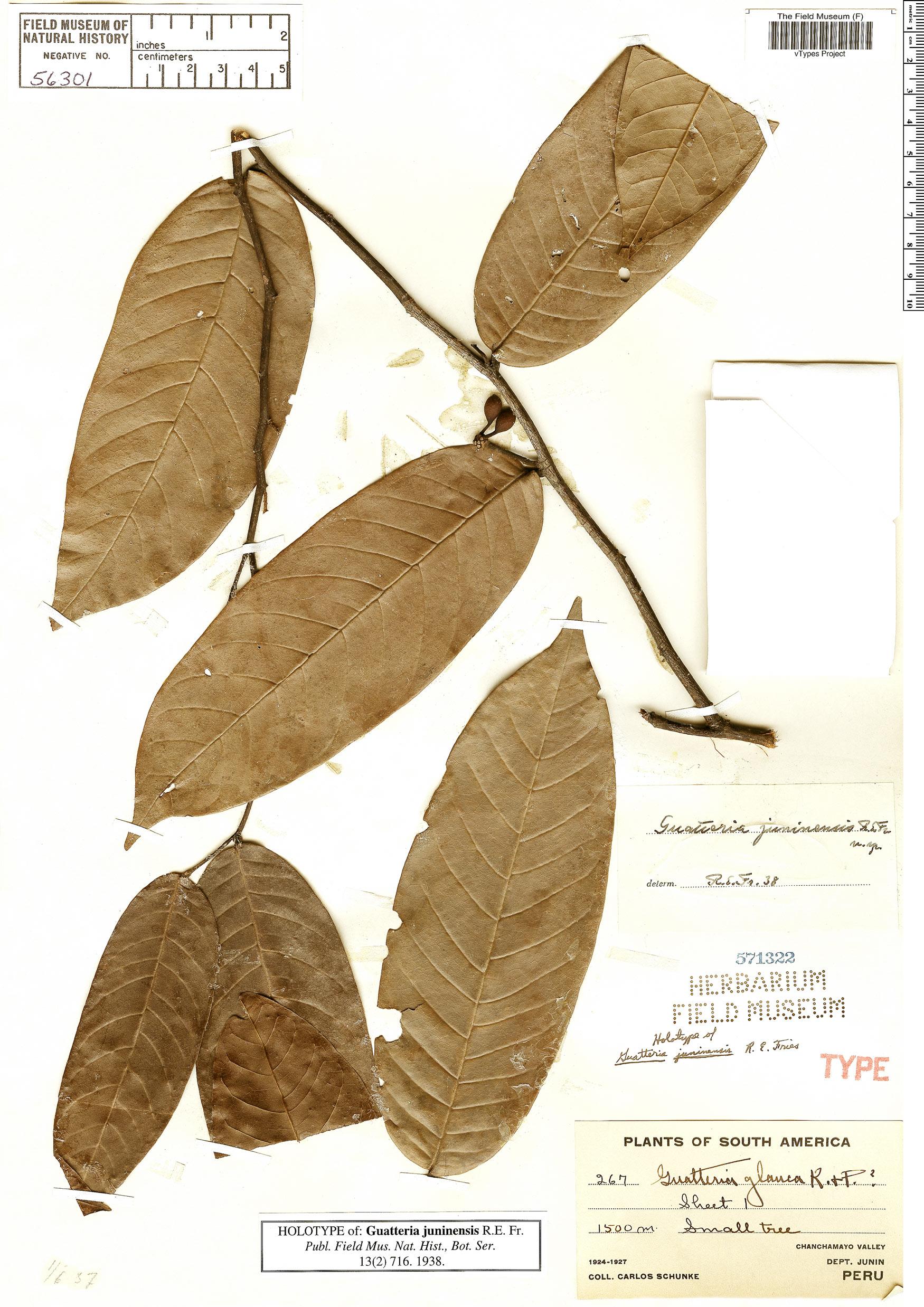 Specimen: Guatteria glauca