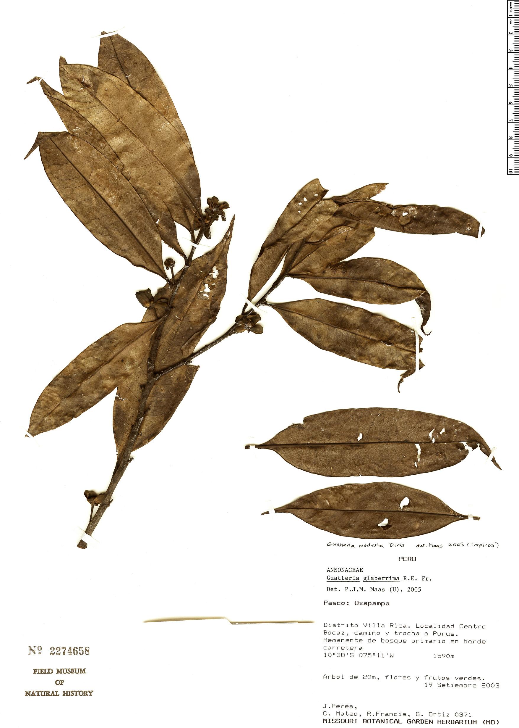 Specimen: Guatteria modesta