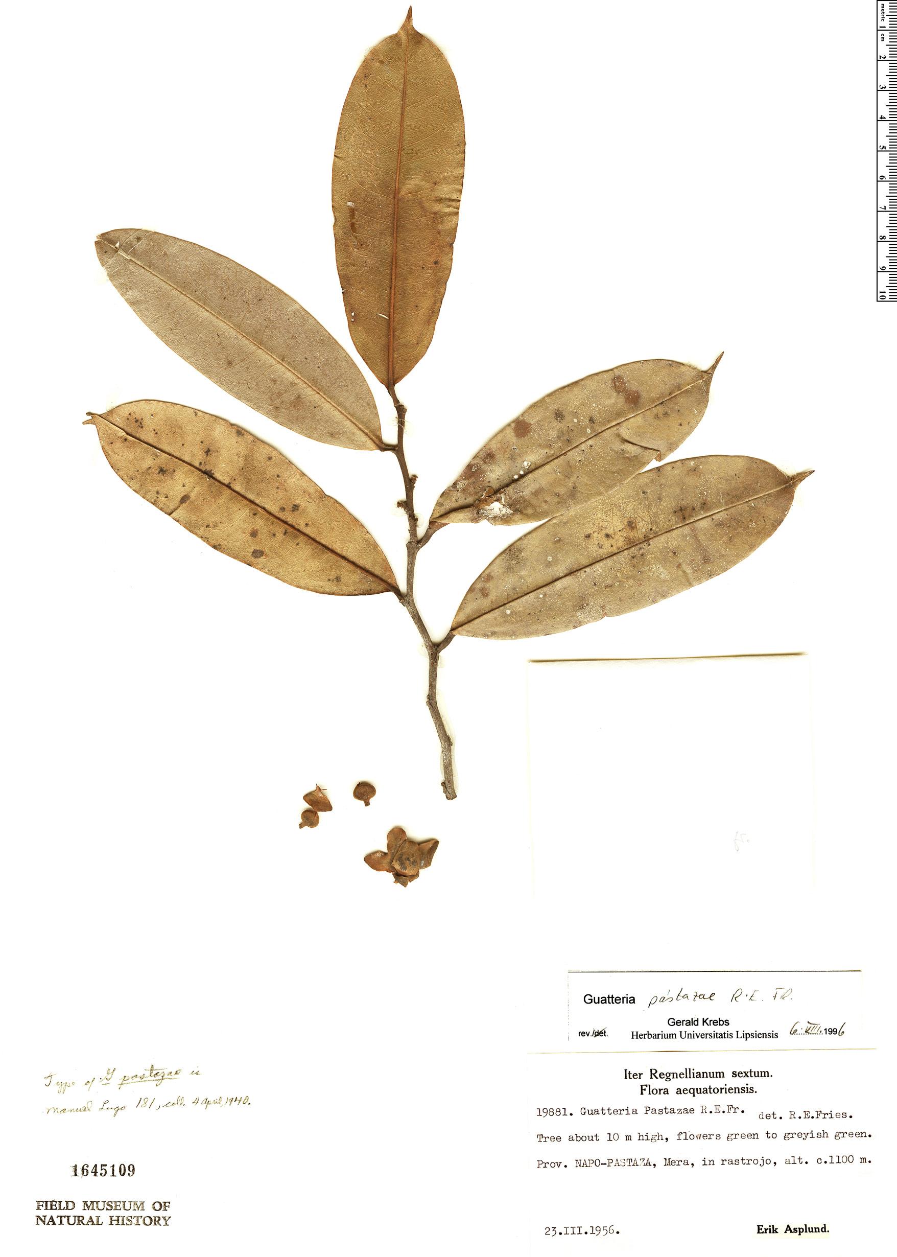 Specimen: Guatteria pastazae