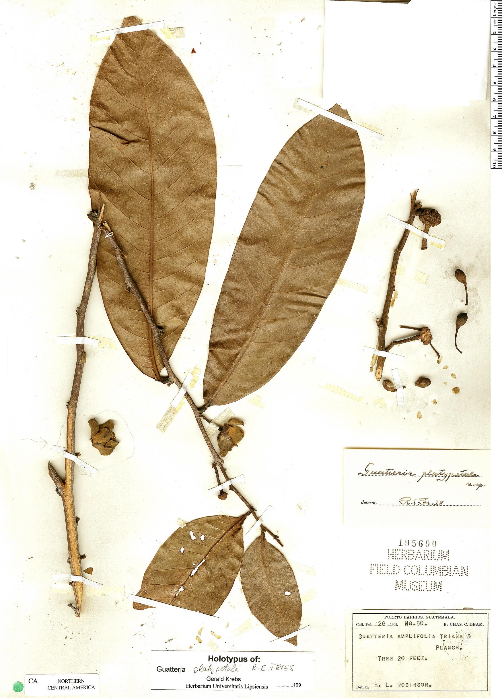 Specimen: Guatteria amplifolia