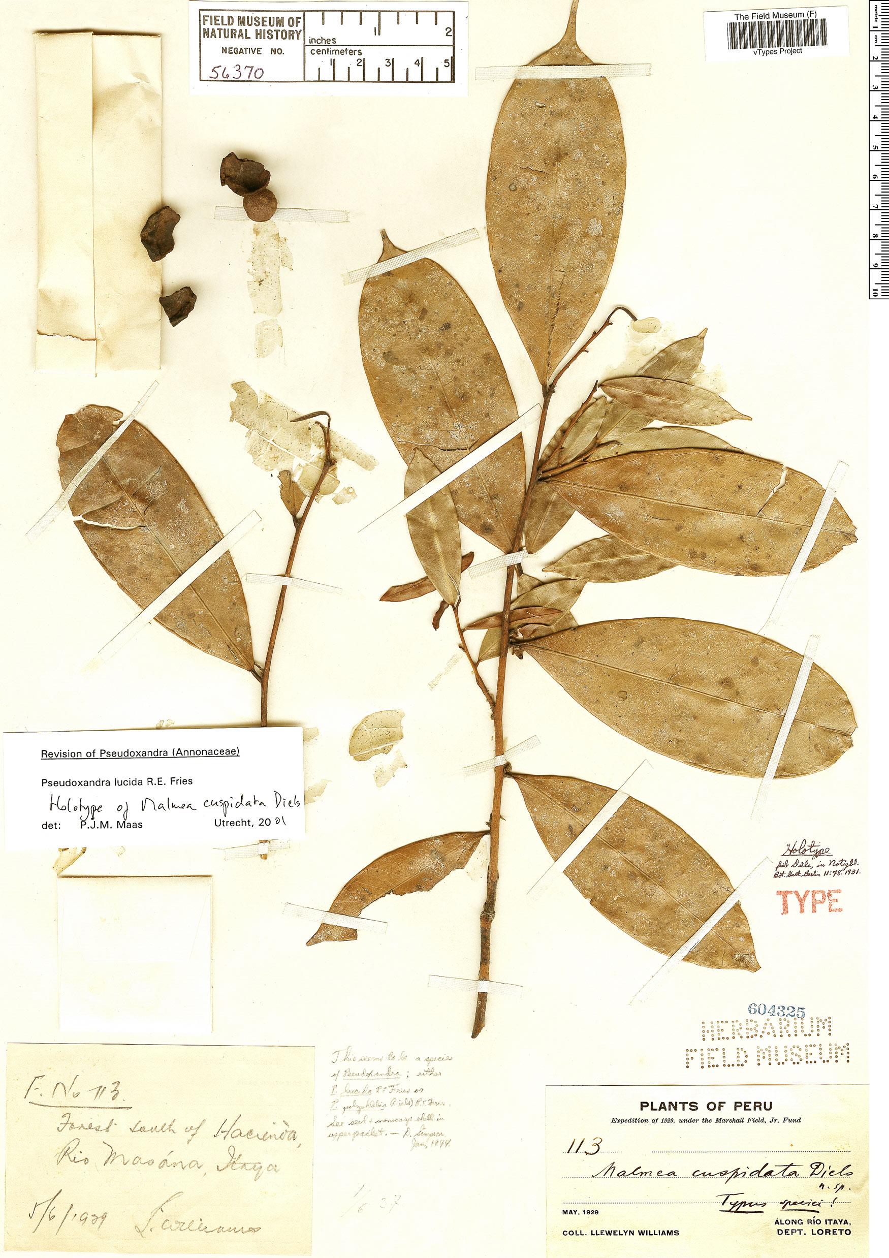 Specimen: Pseudoxandra lucida