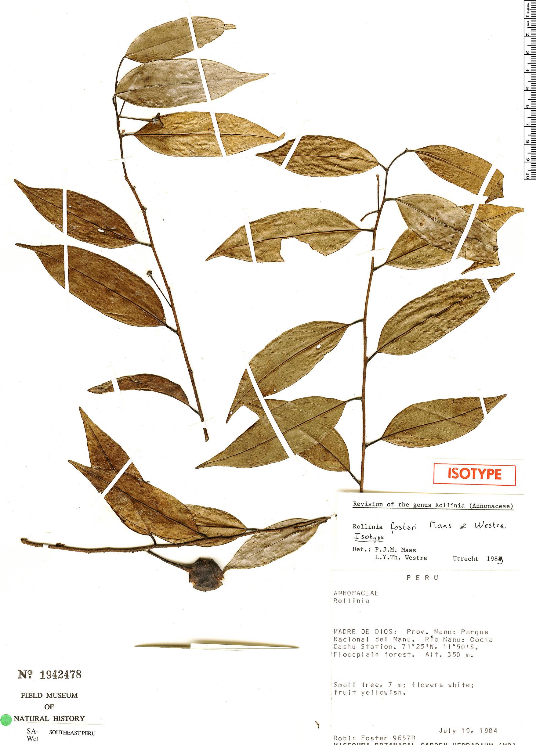 Specimen: Annona fosteri