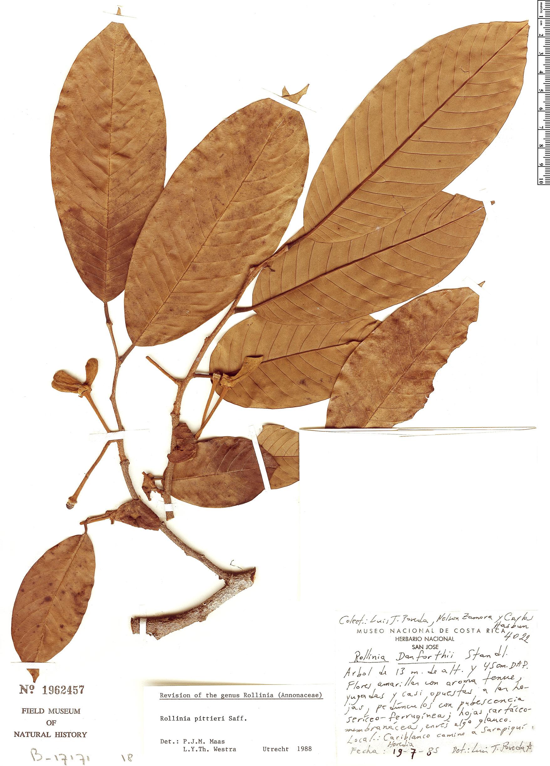 Specimen: Annona papilionella