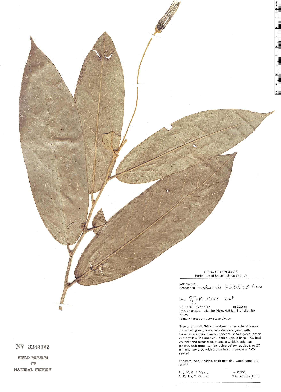 Specimen: Stenanona hondurensis