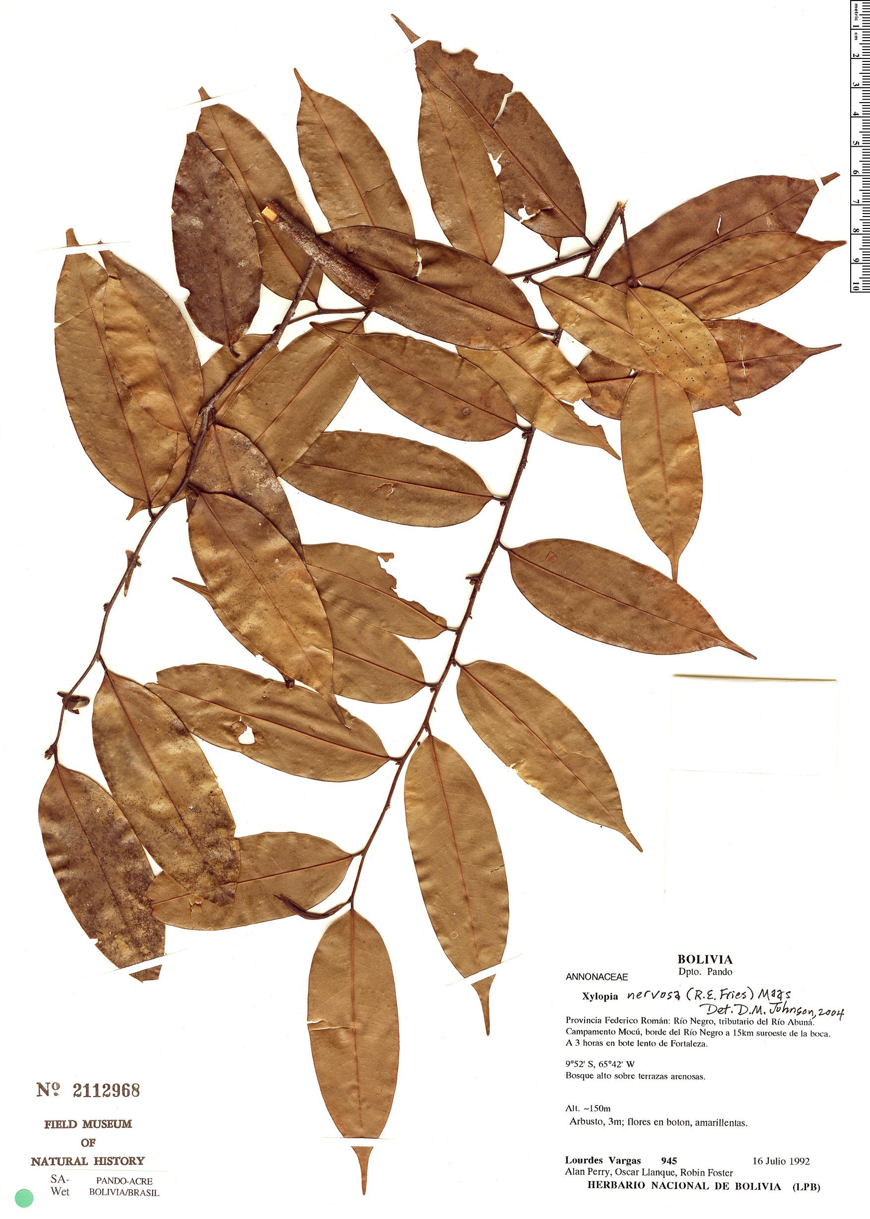 Espécimen: Xylopia nervosa