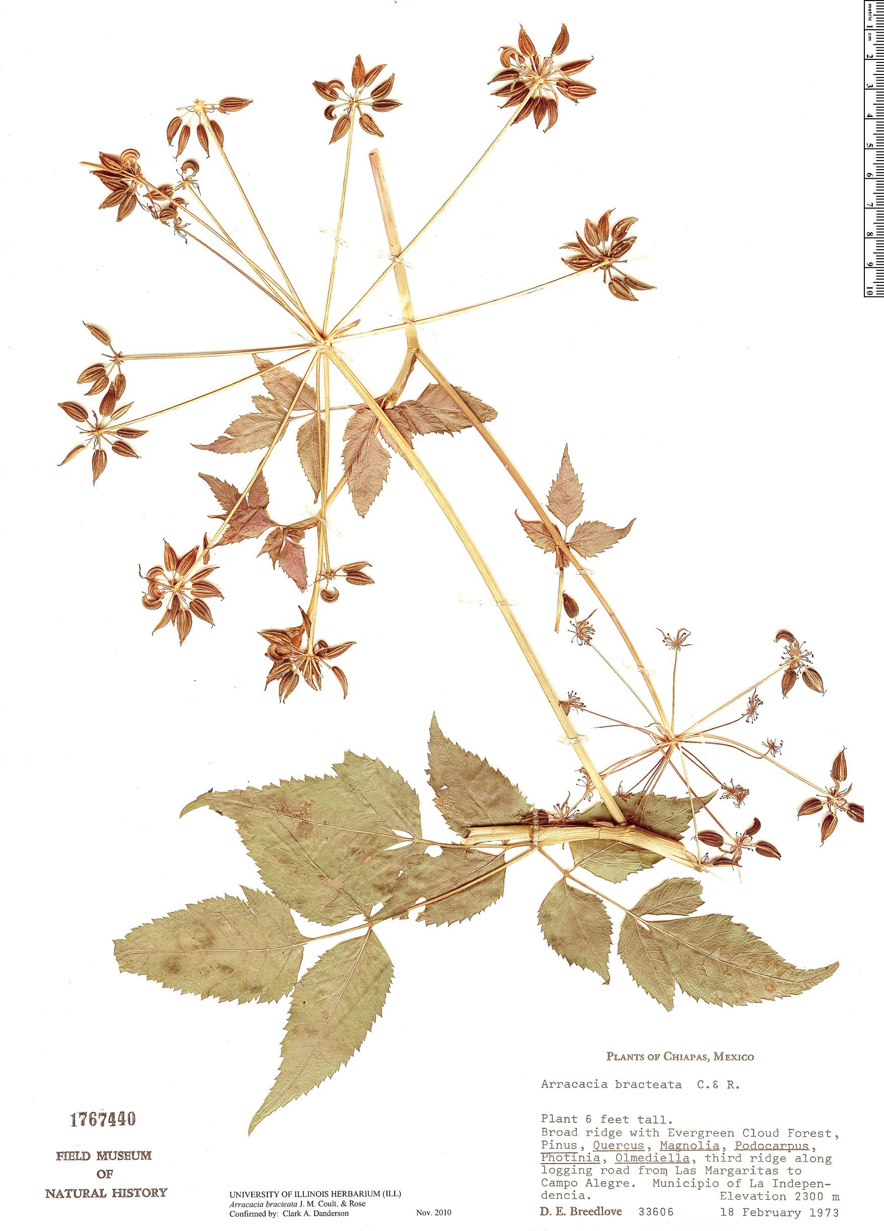 Espécimen: Arracacia bracteata