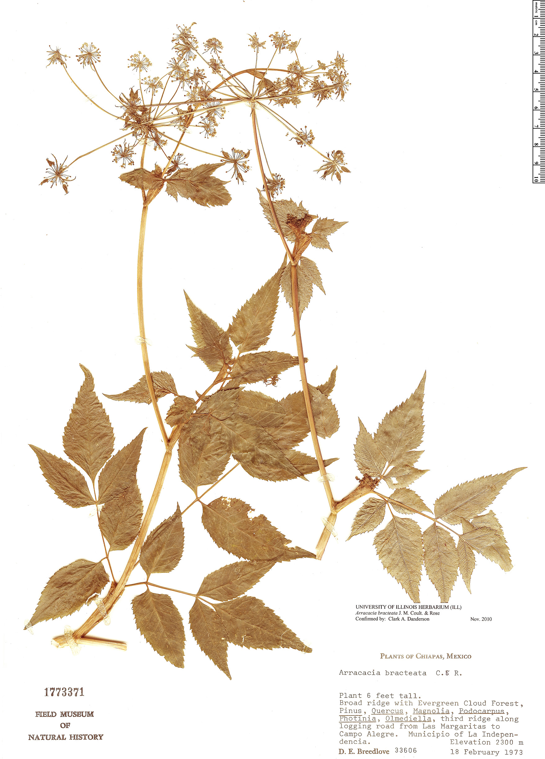 Specimen: Arracacia bracteata