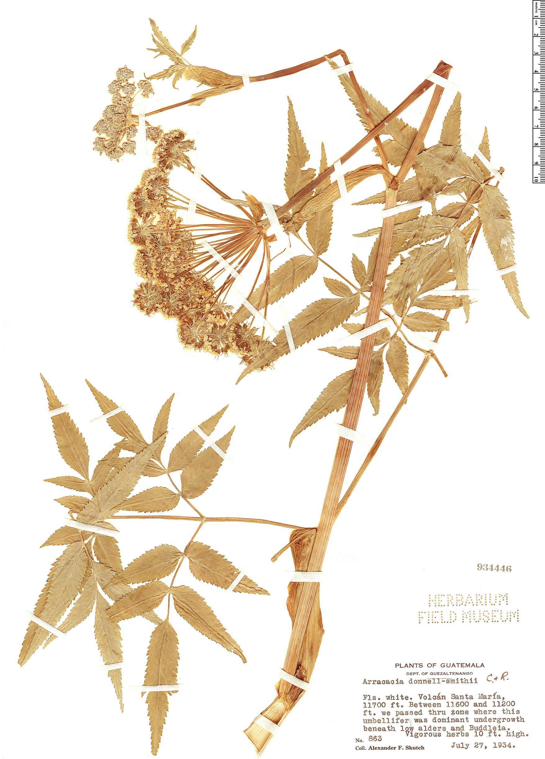 Specimen: Arracacia donnell-smithii