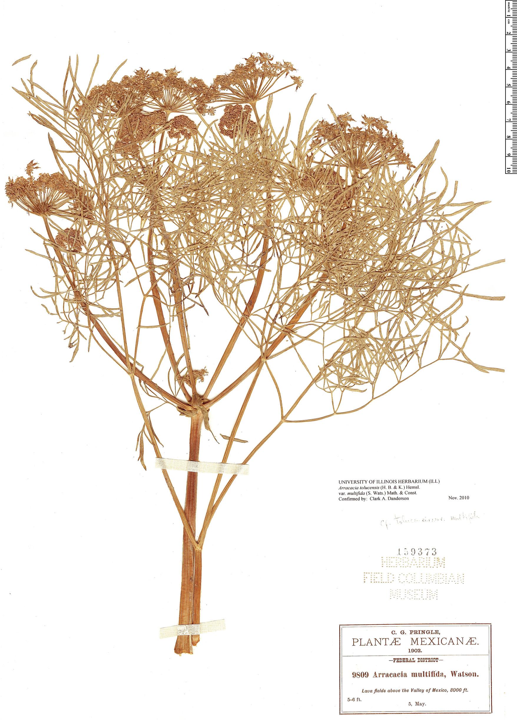 Specimen: Arracacia tolucensis