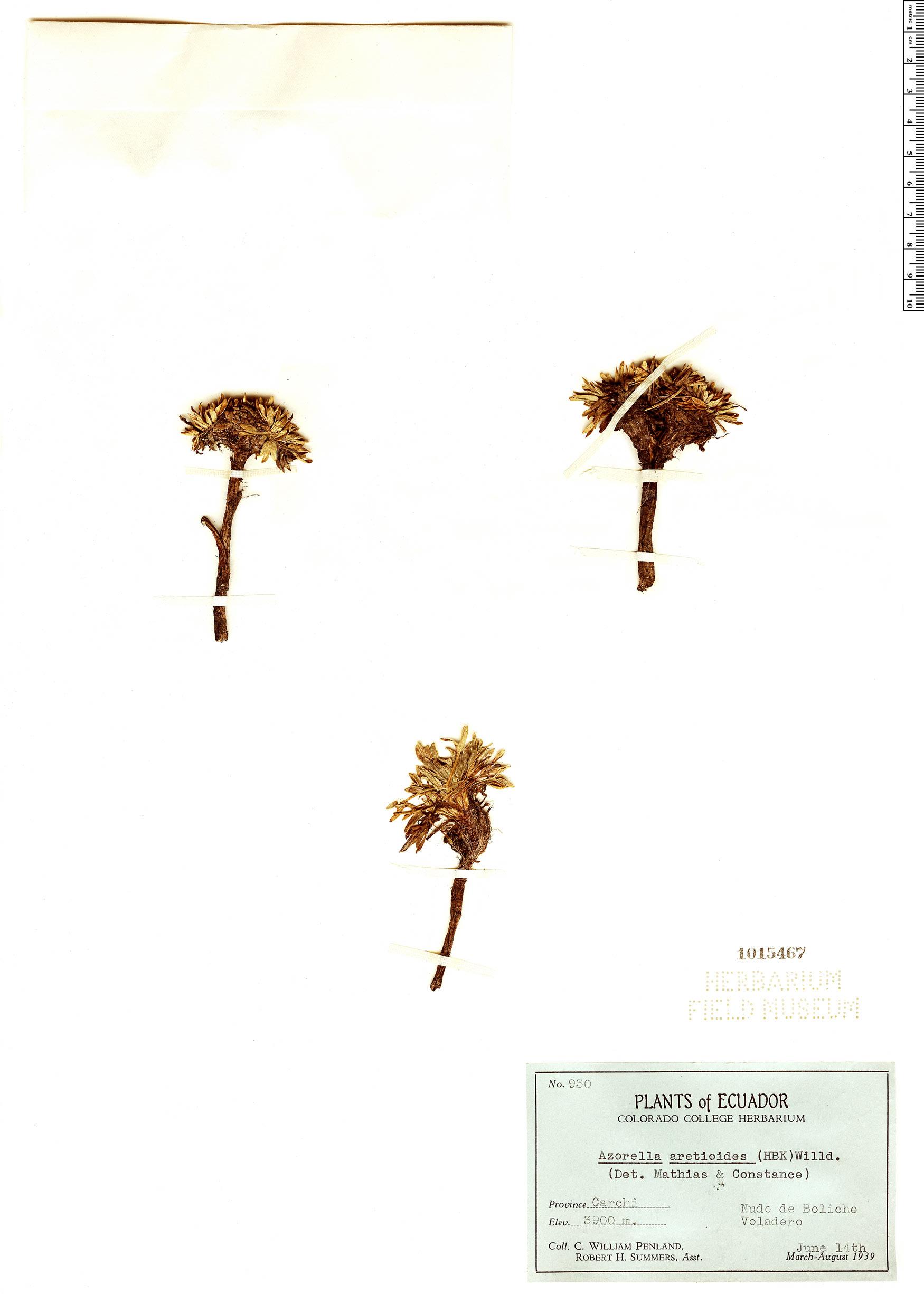 Espécimen: Azorella aretioides