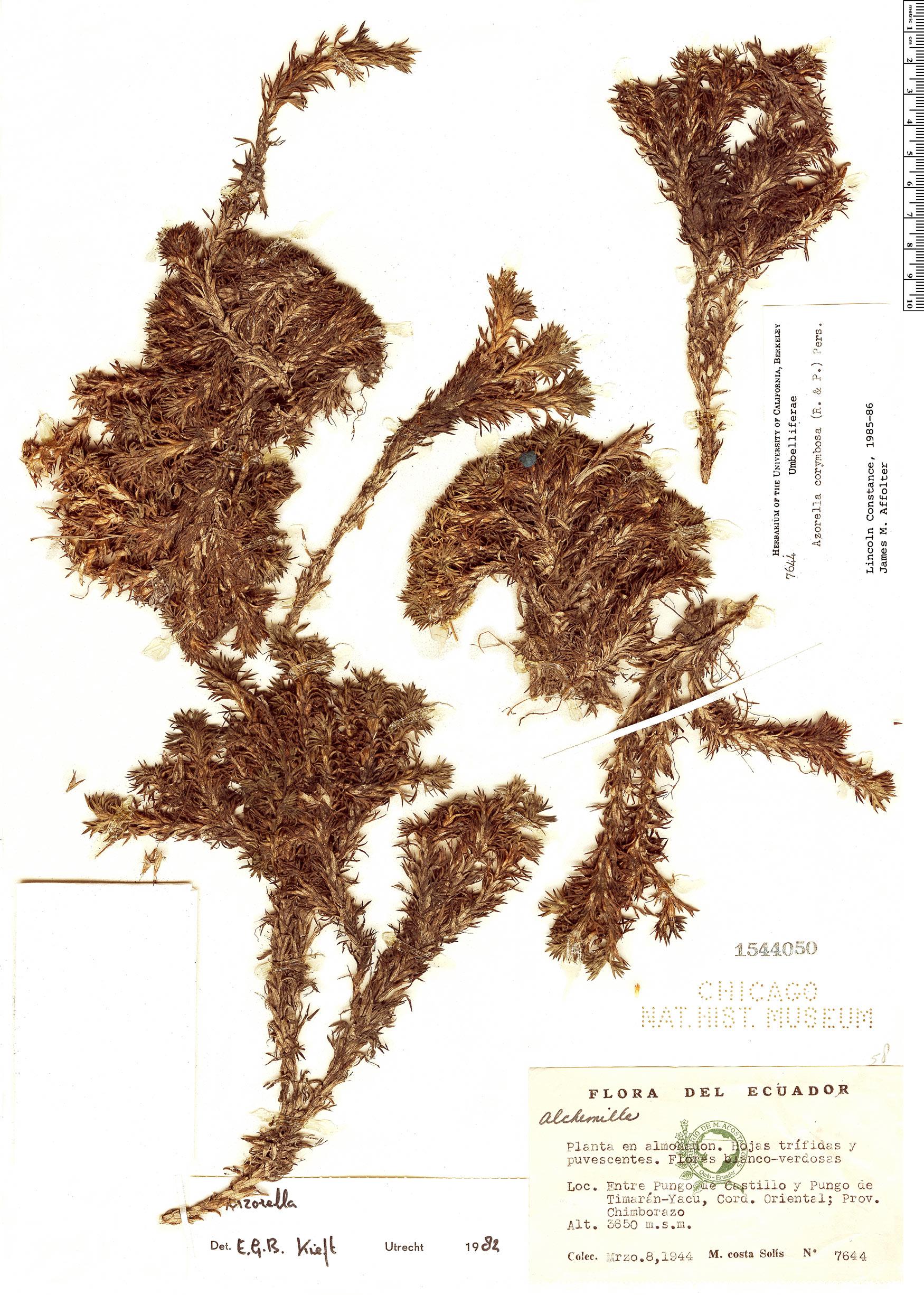Specimen: Azorella corymbosa