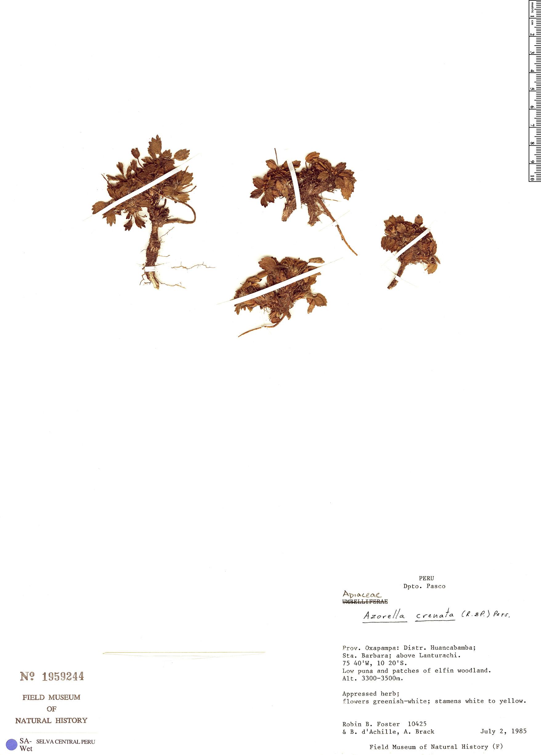 Specimen: Azorella crenata