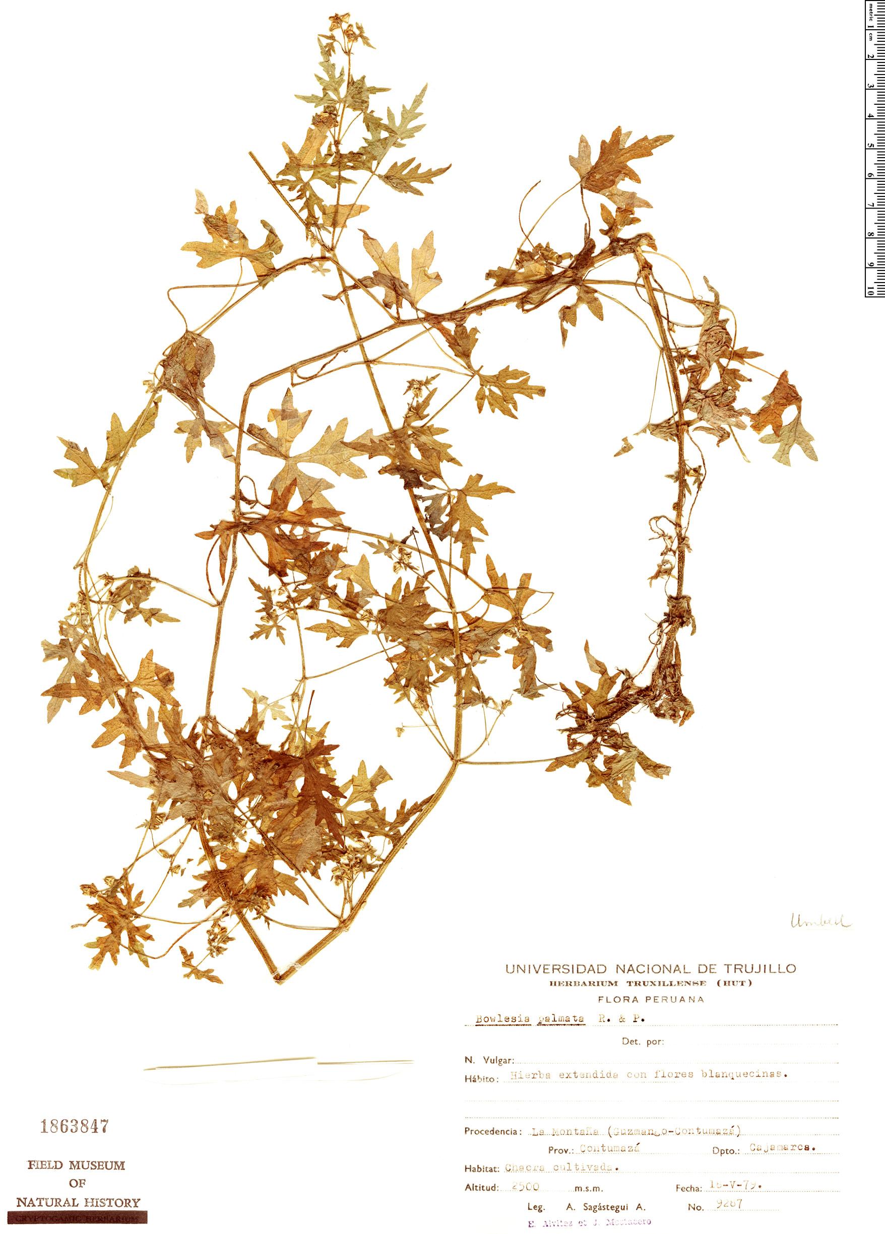 Espécimen: Bowlesia palmata