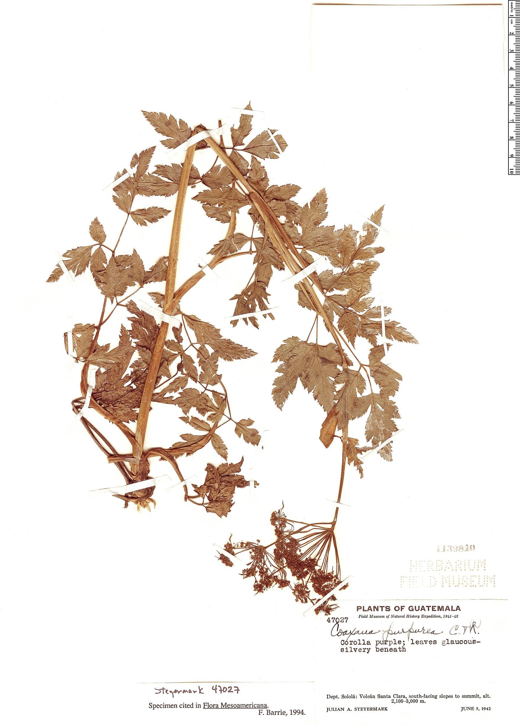 Specimen: Coaxana purpurea