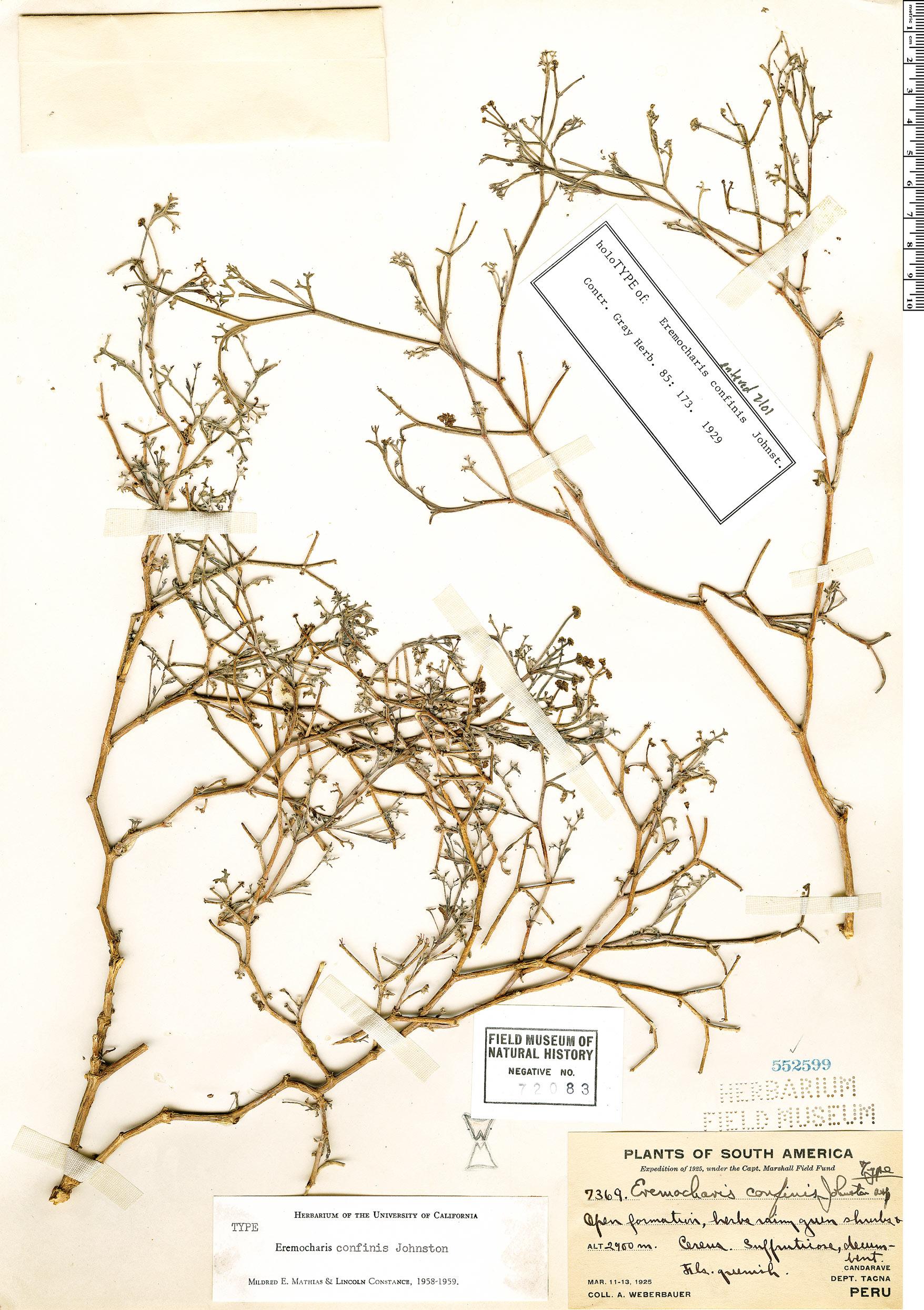 Specimen: Eremocharis confinis