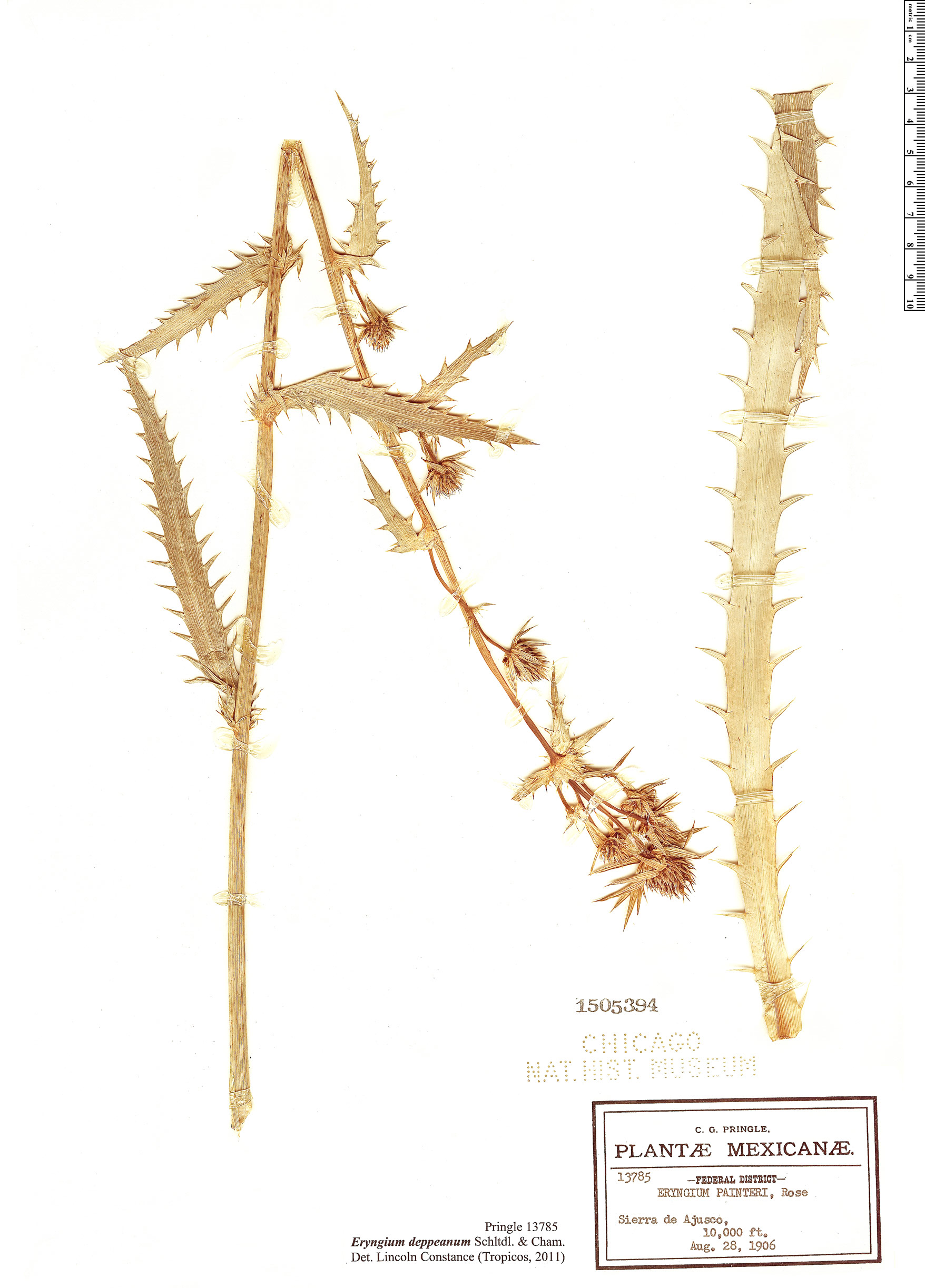 Specimen: Eryngium deppeanum
