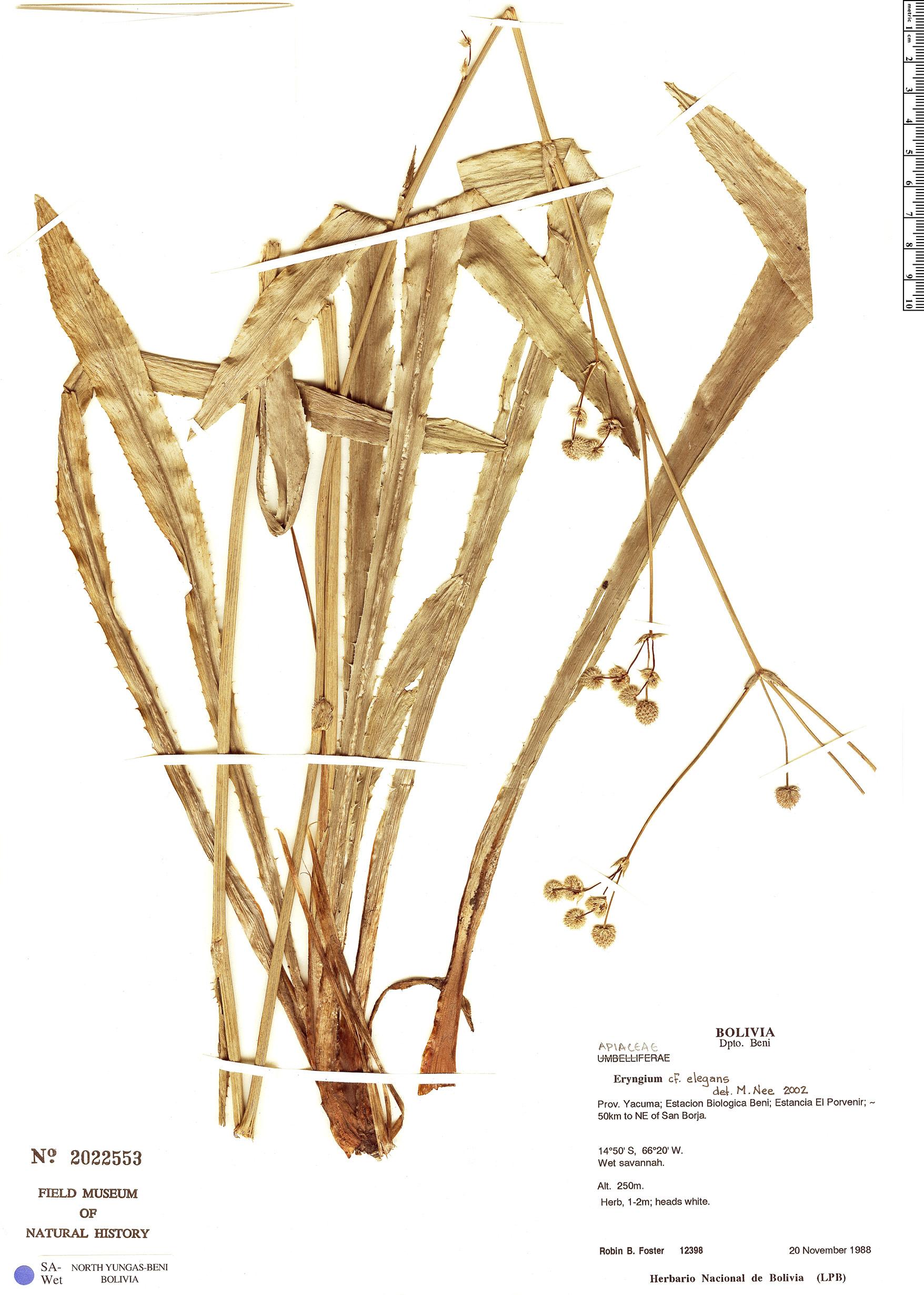 Specimen: Eryngium elegans