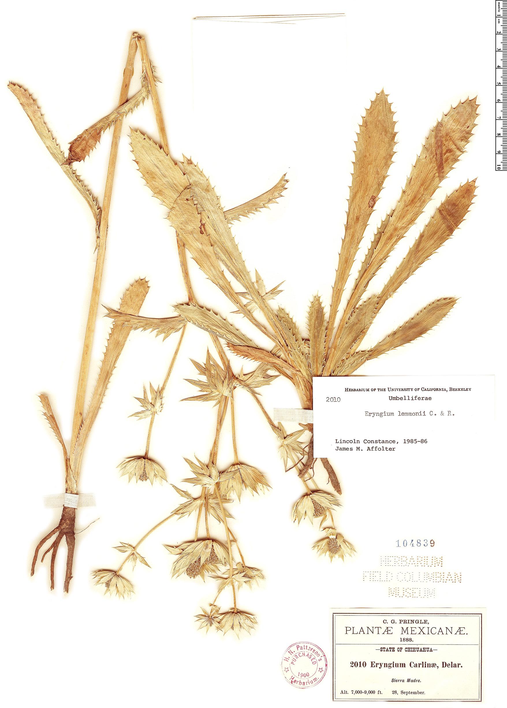 Specimen: Eryngium lemmonii