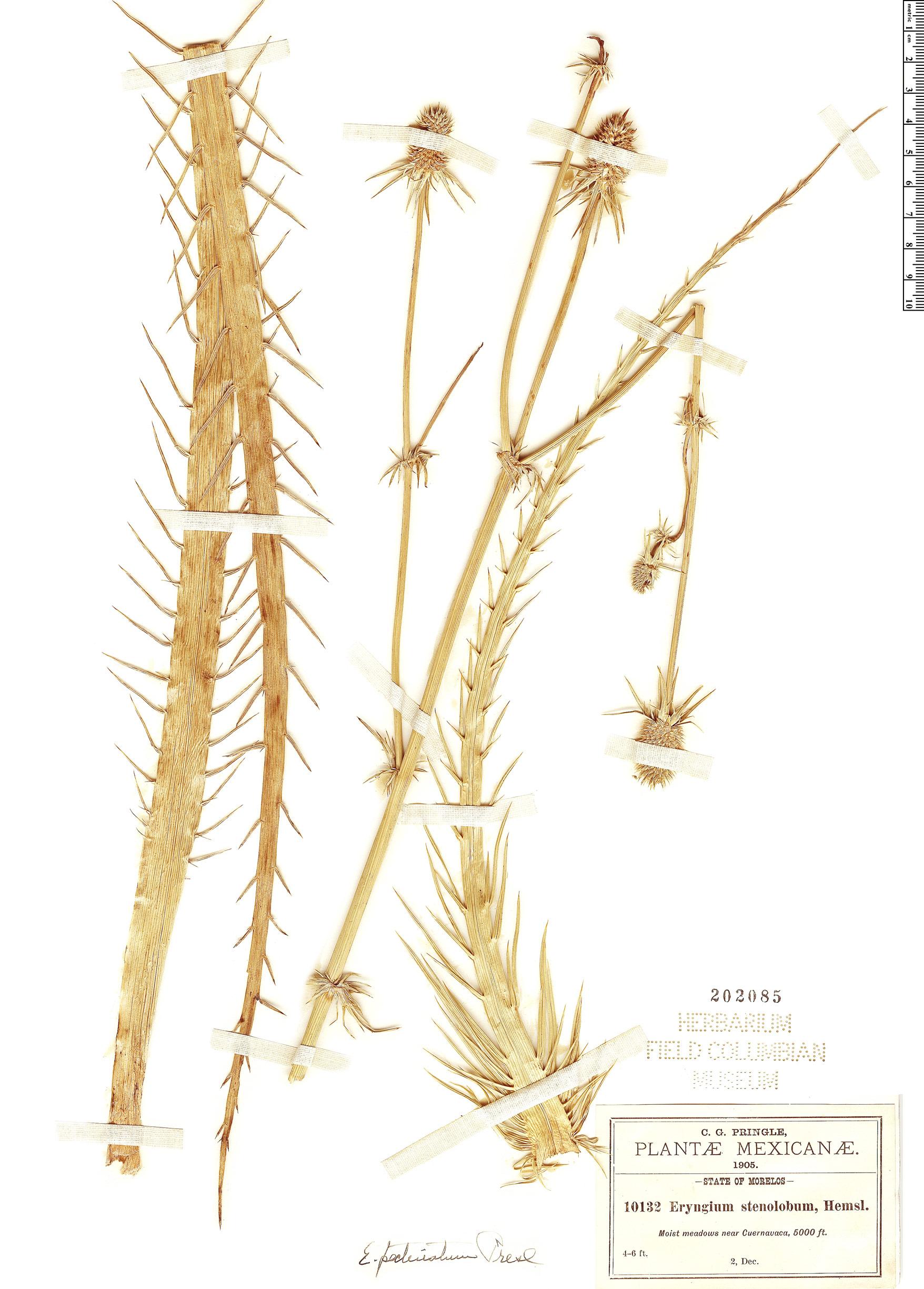 Specimen: Eryngium pectinatum