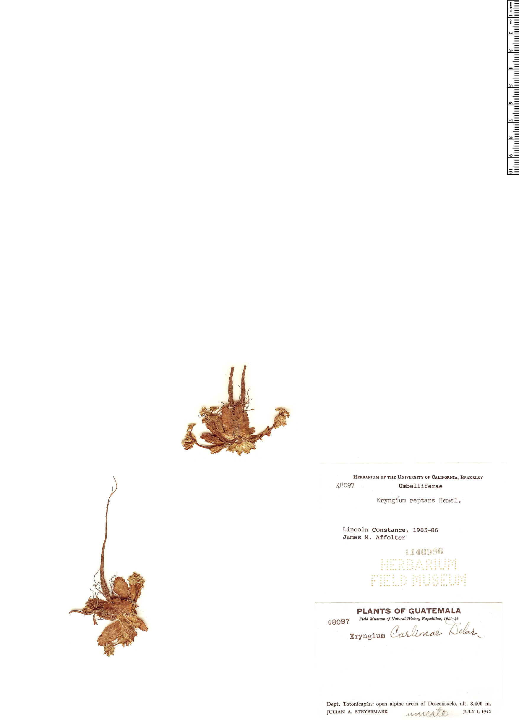 Specimen: Eryngium reptans
