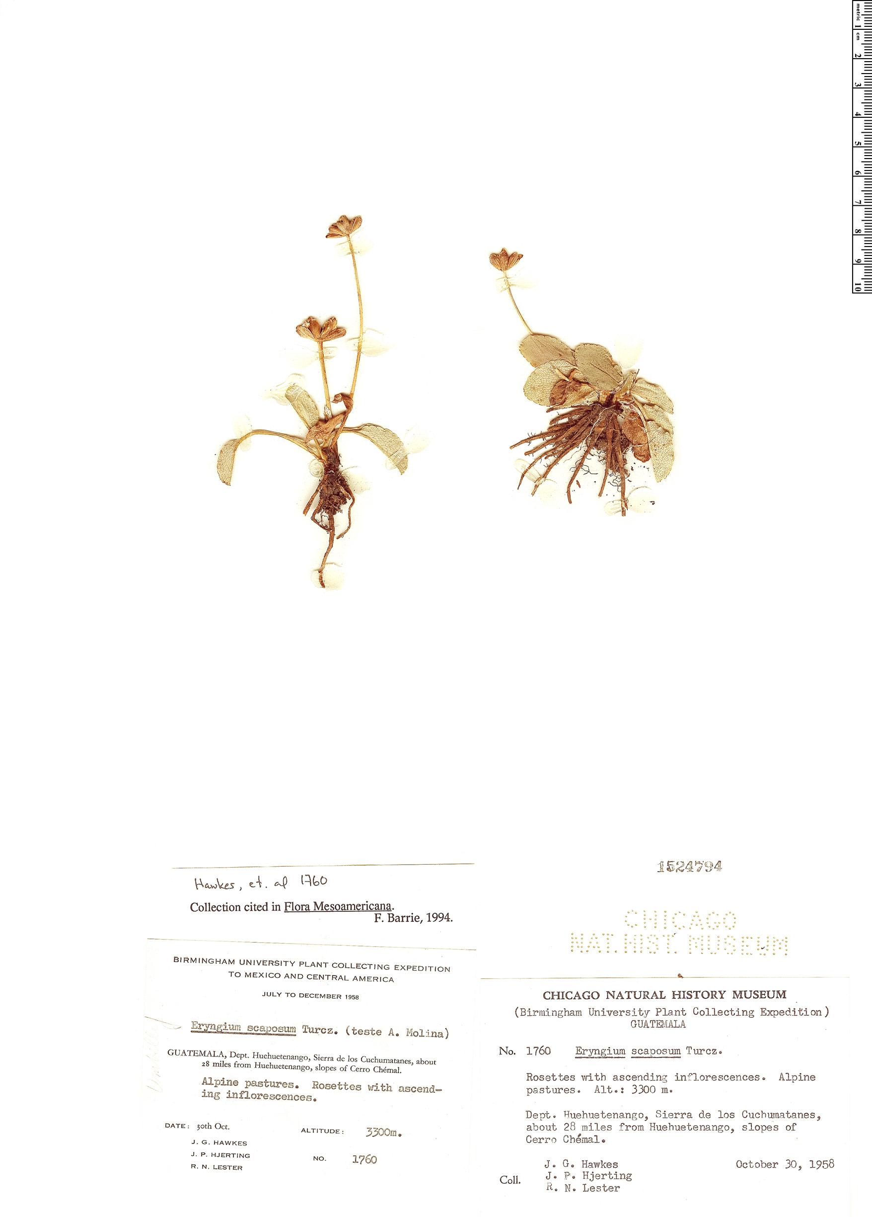 Specimen: Eryngium scaposum