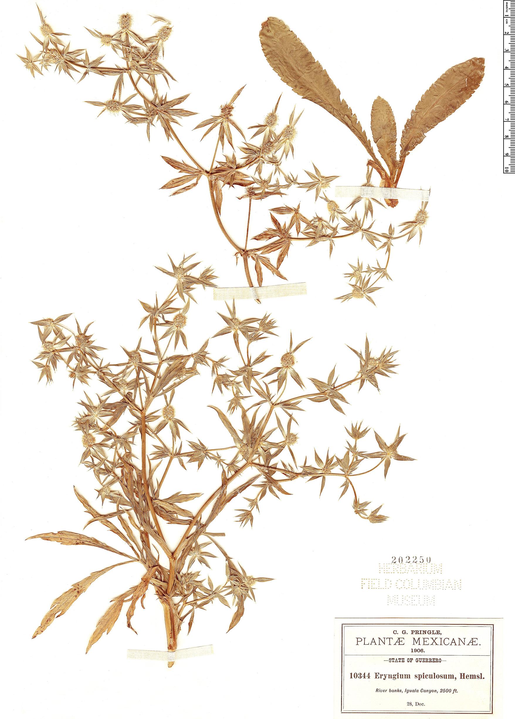 Specimen: Eryngium spiculosum