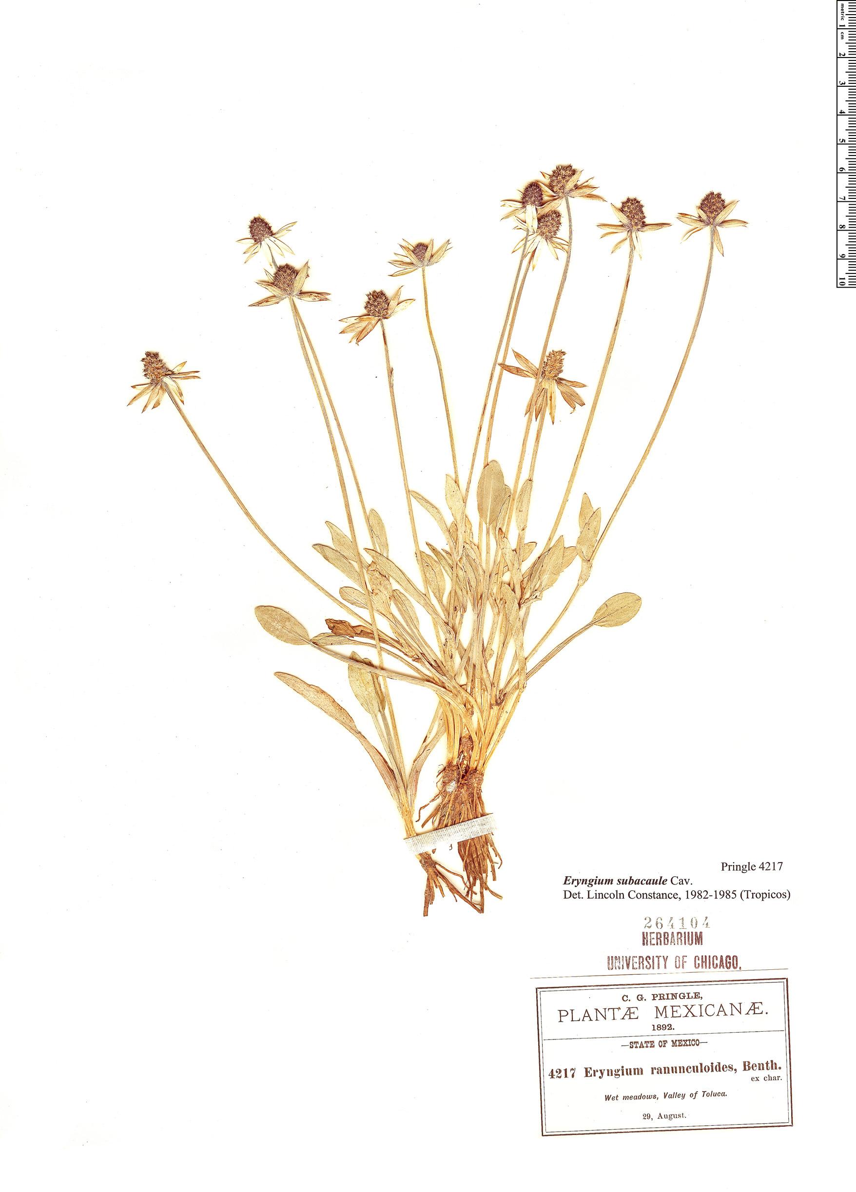 Specimen: Eryngium subacaule