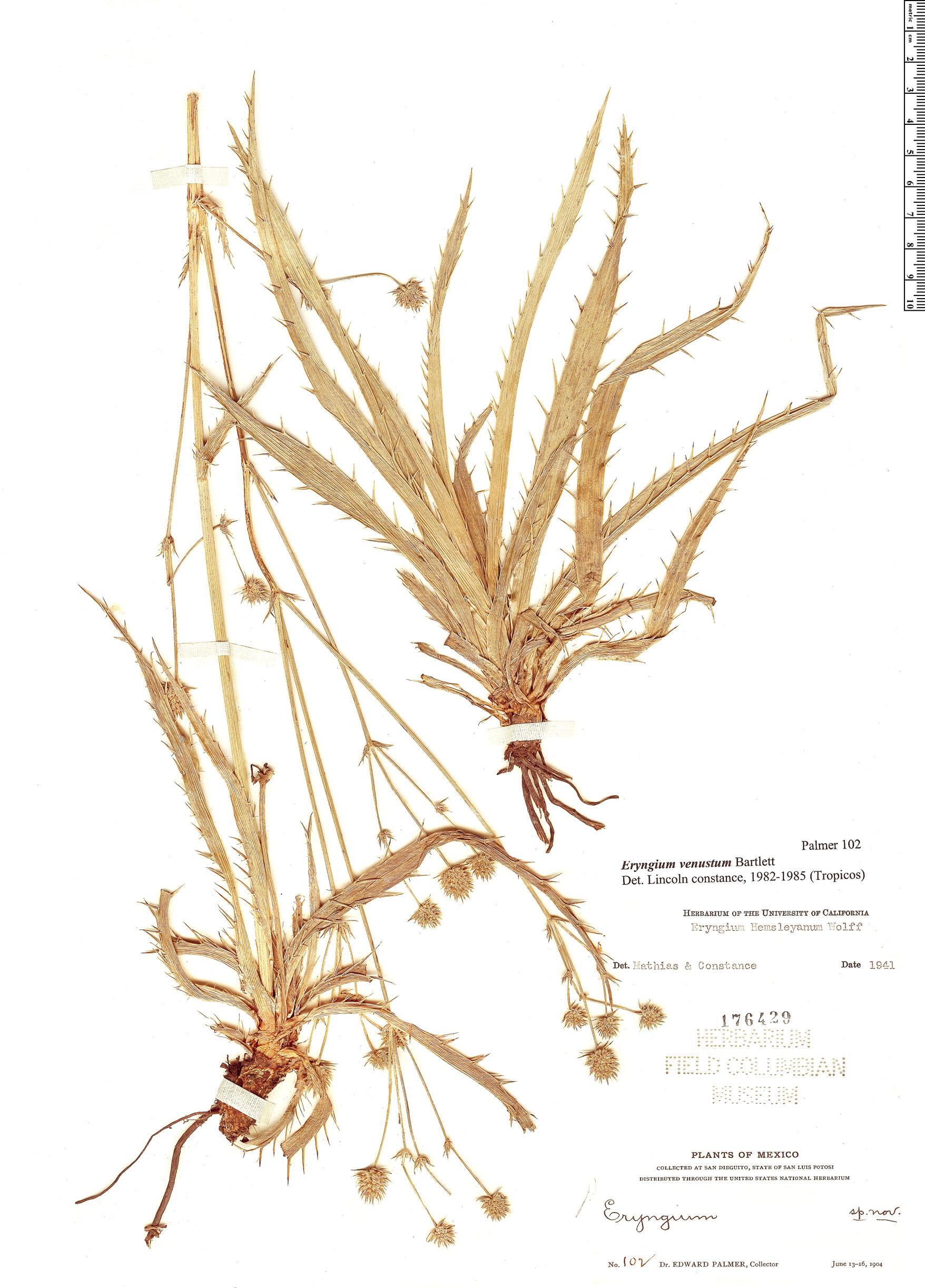 Specimen: Eryngium venustum