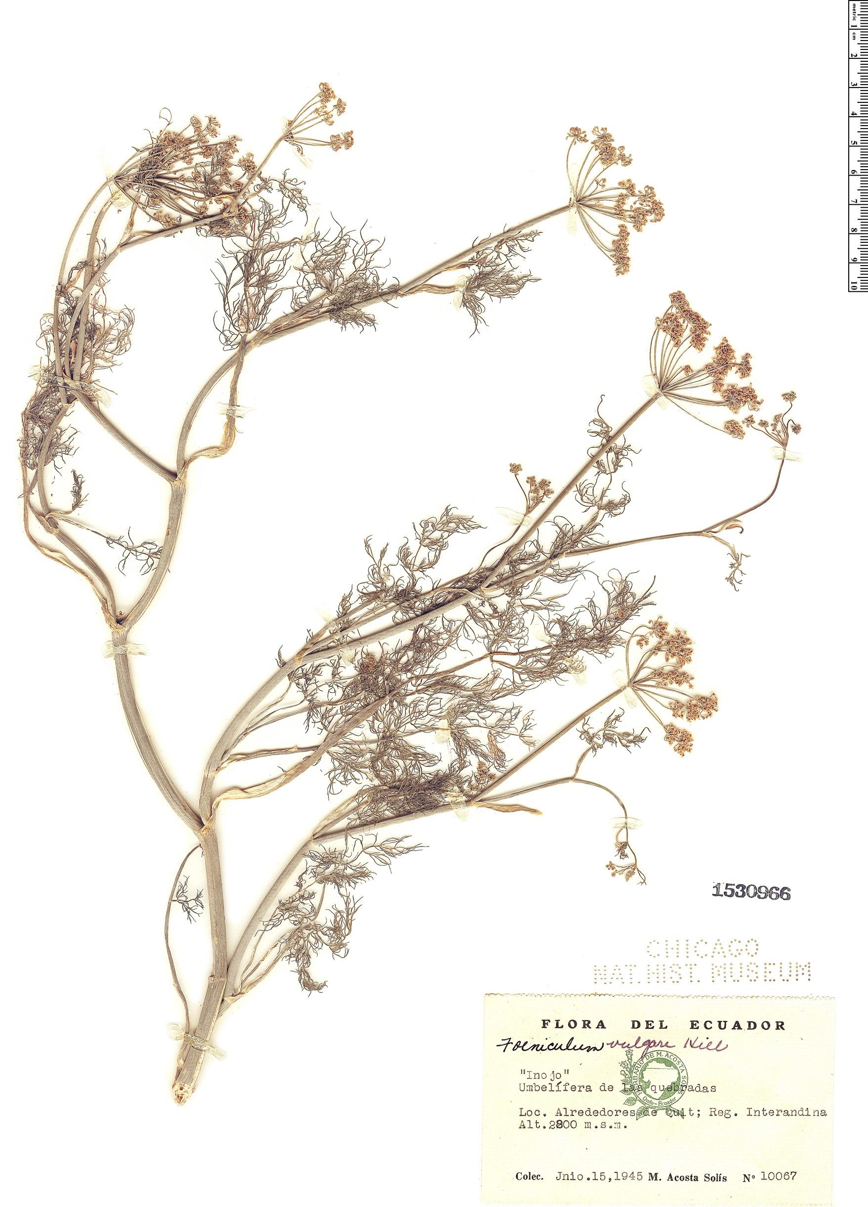 Specimen: Foeniculum vulgare