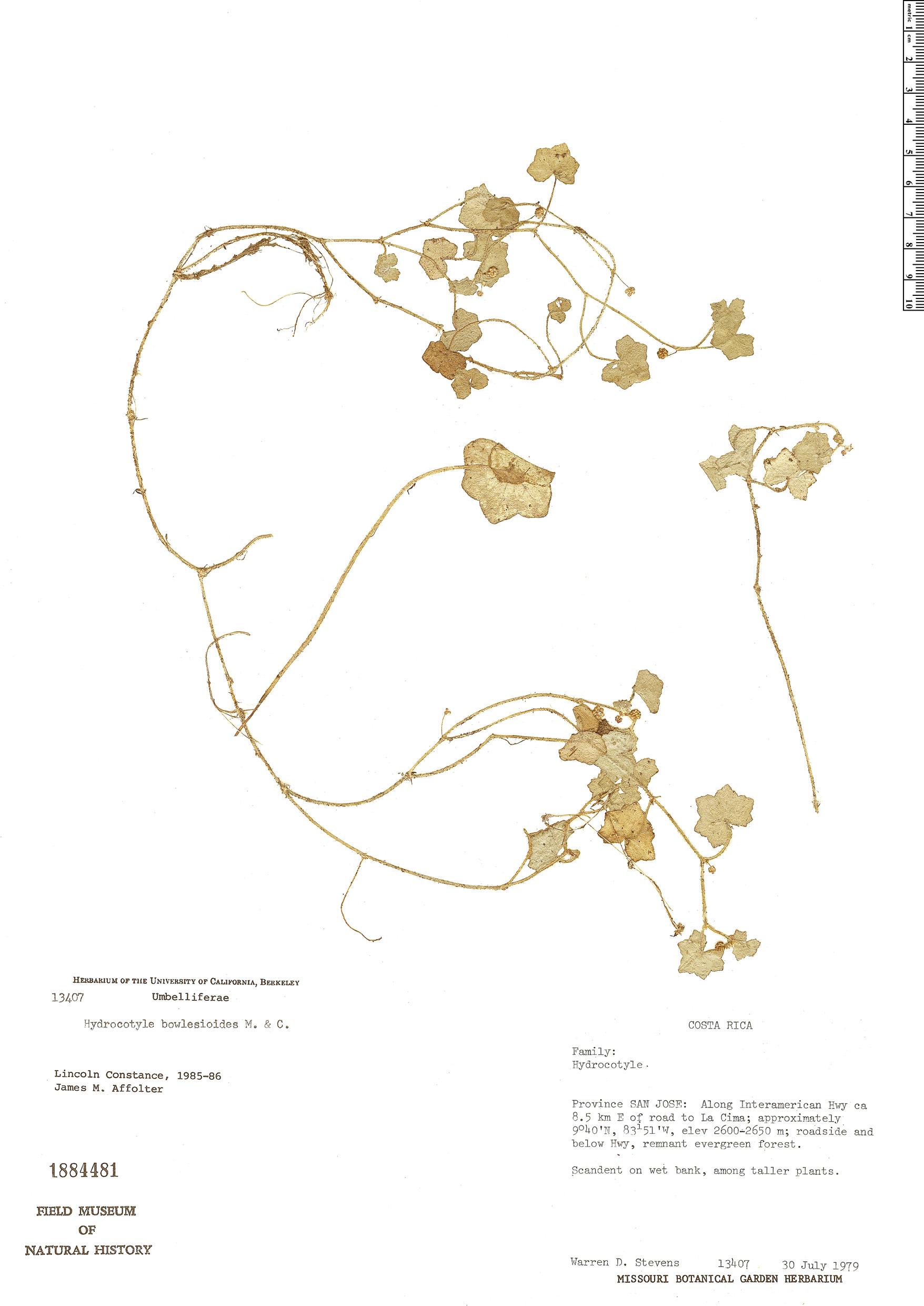 Specimen: Hydrocotyle bowlesioides