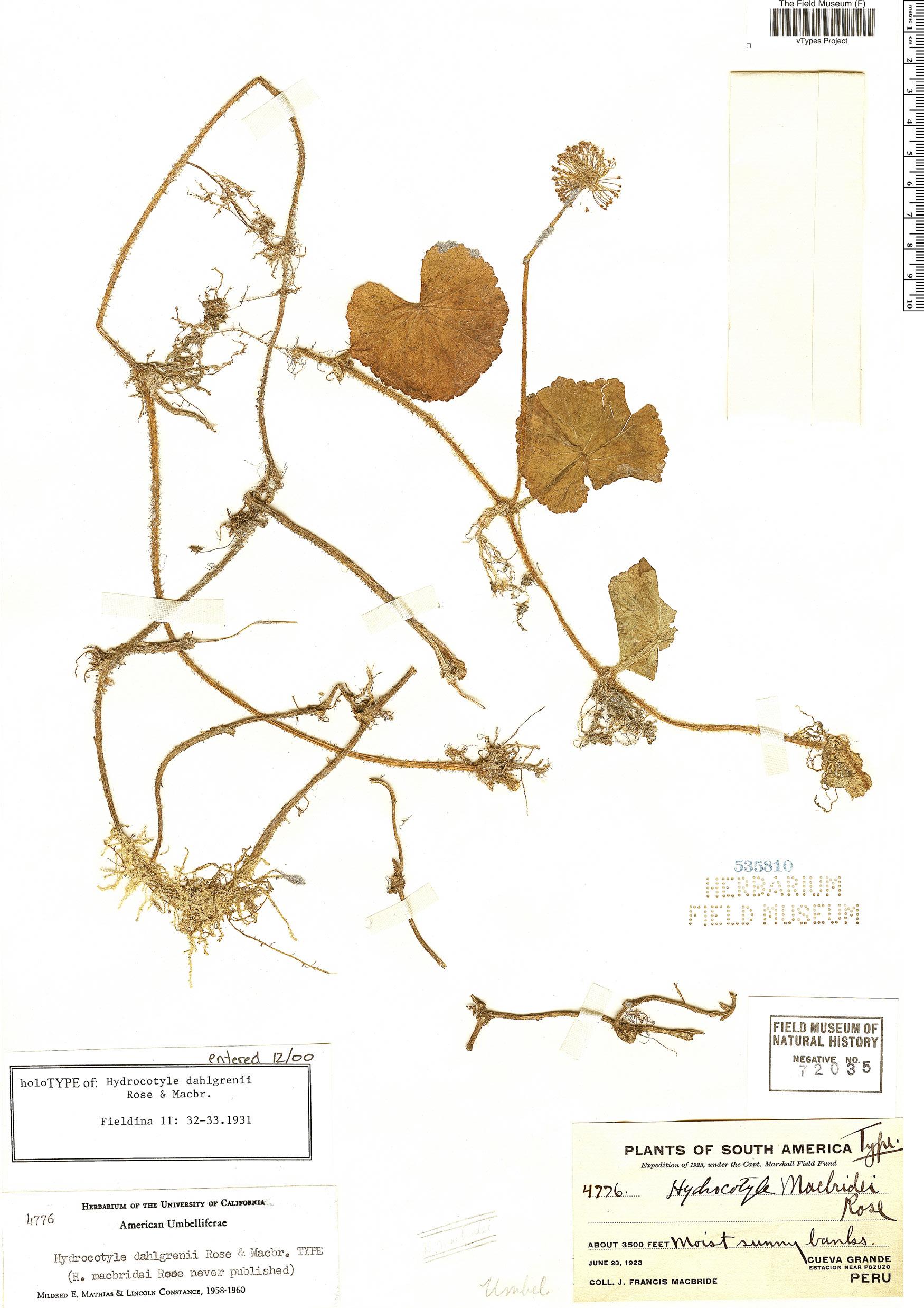 Specimen: Hydrocotyle dahlgrenii