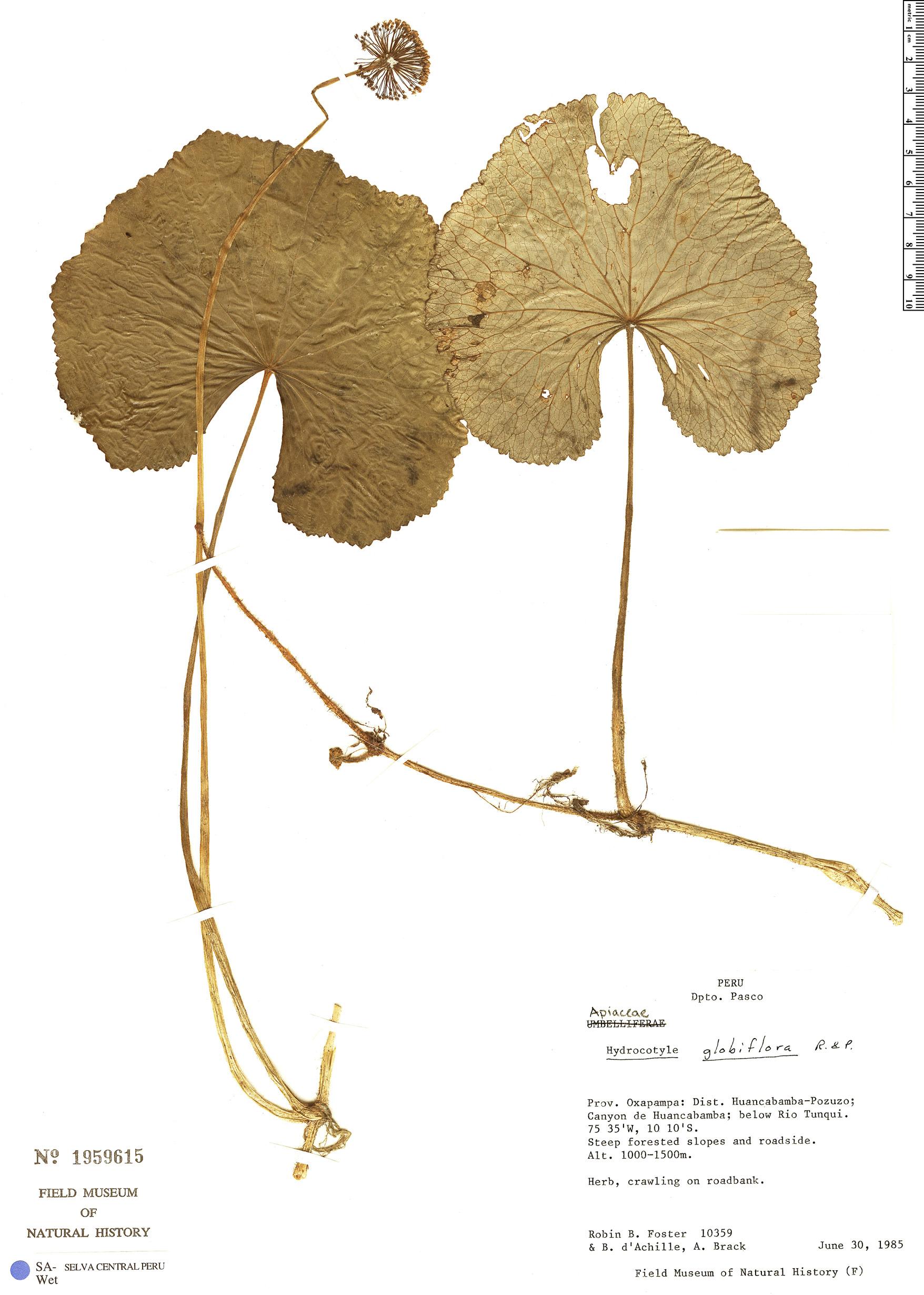 Specimen: Hydrocotyle globiflora