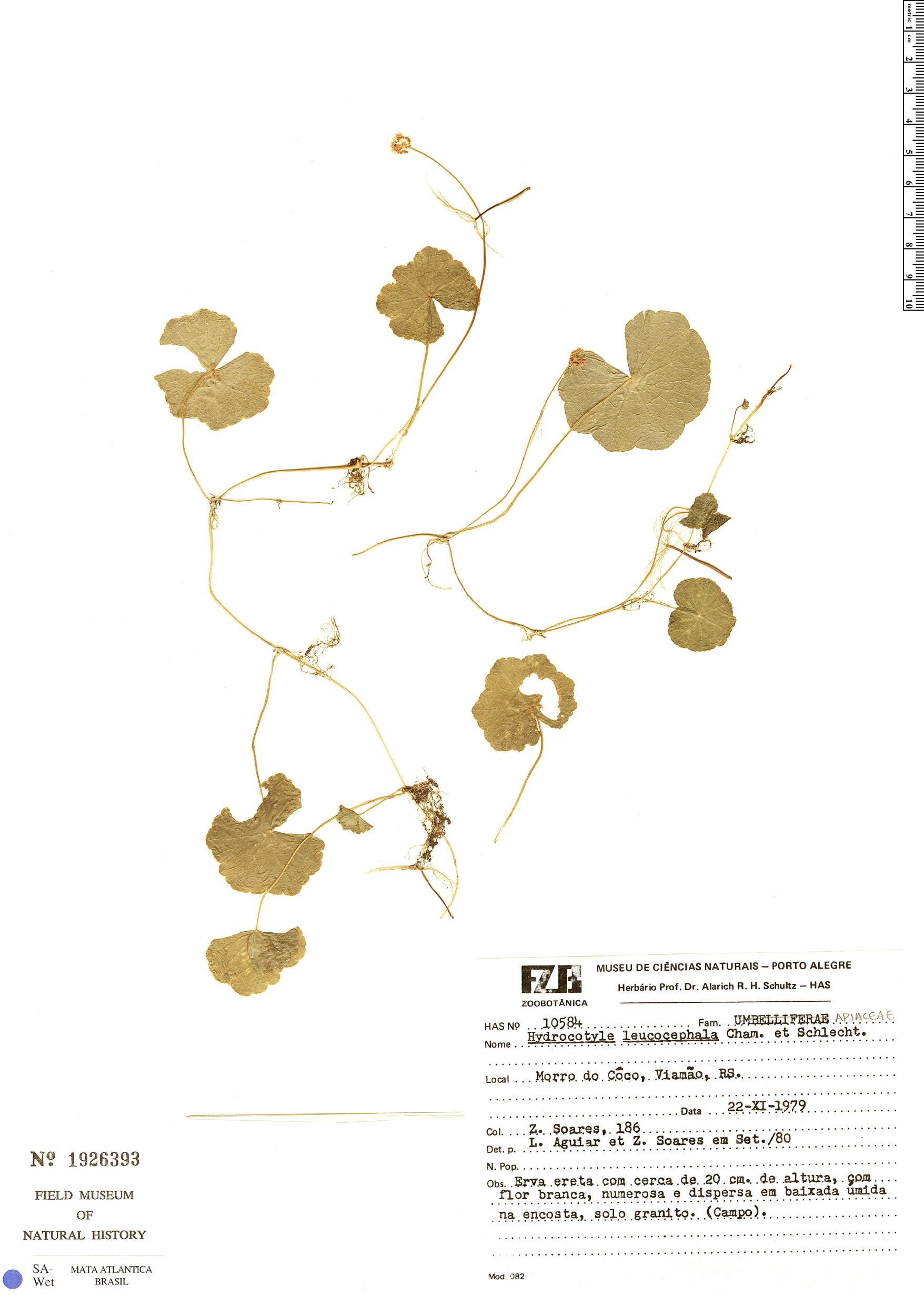 Specimen: Hydrocotyle leucocephala