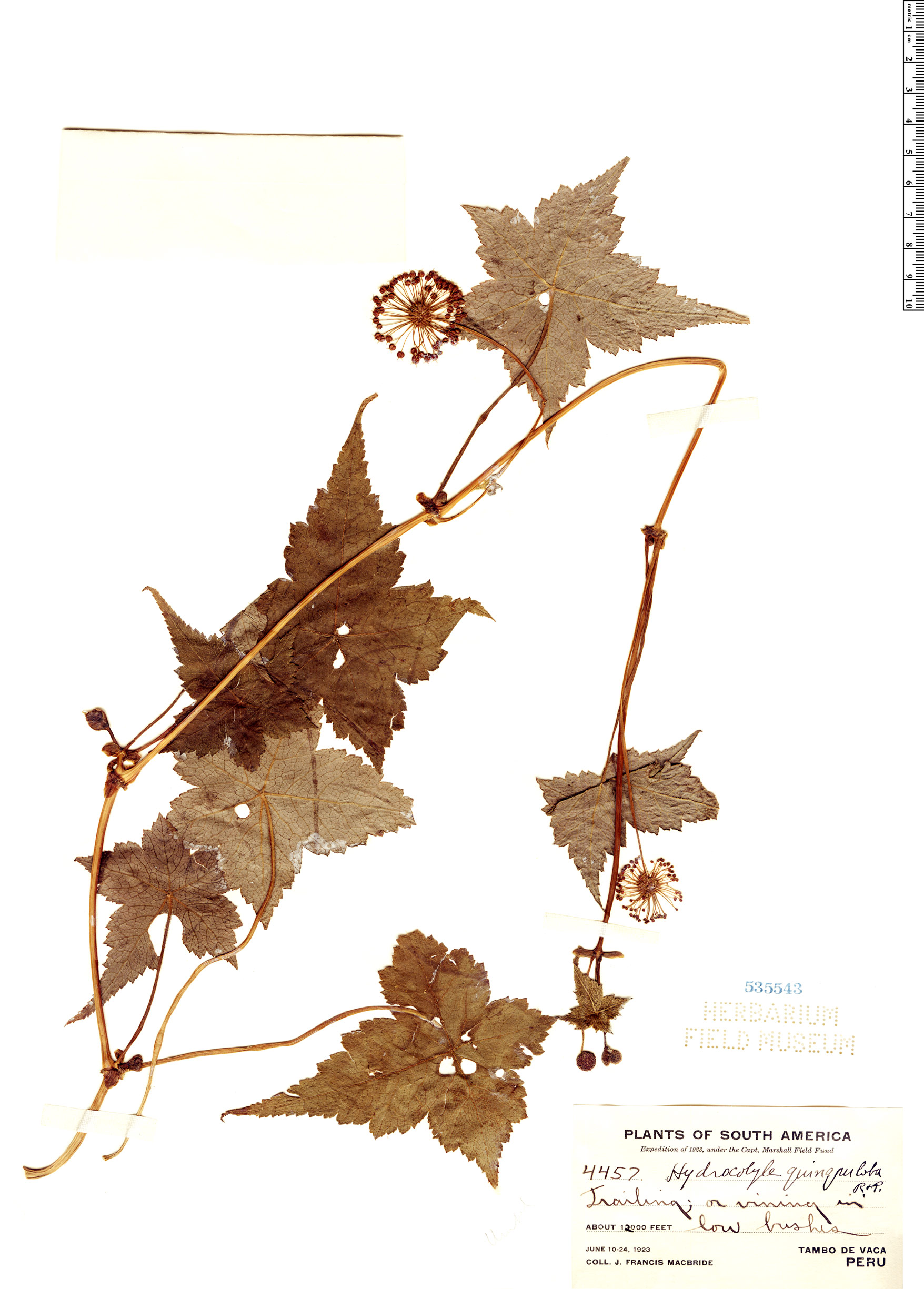 Espécimen: Hydrocotyle quinqueloba