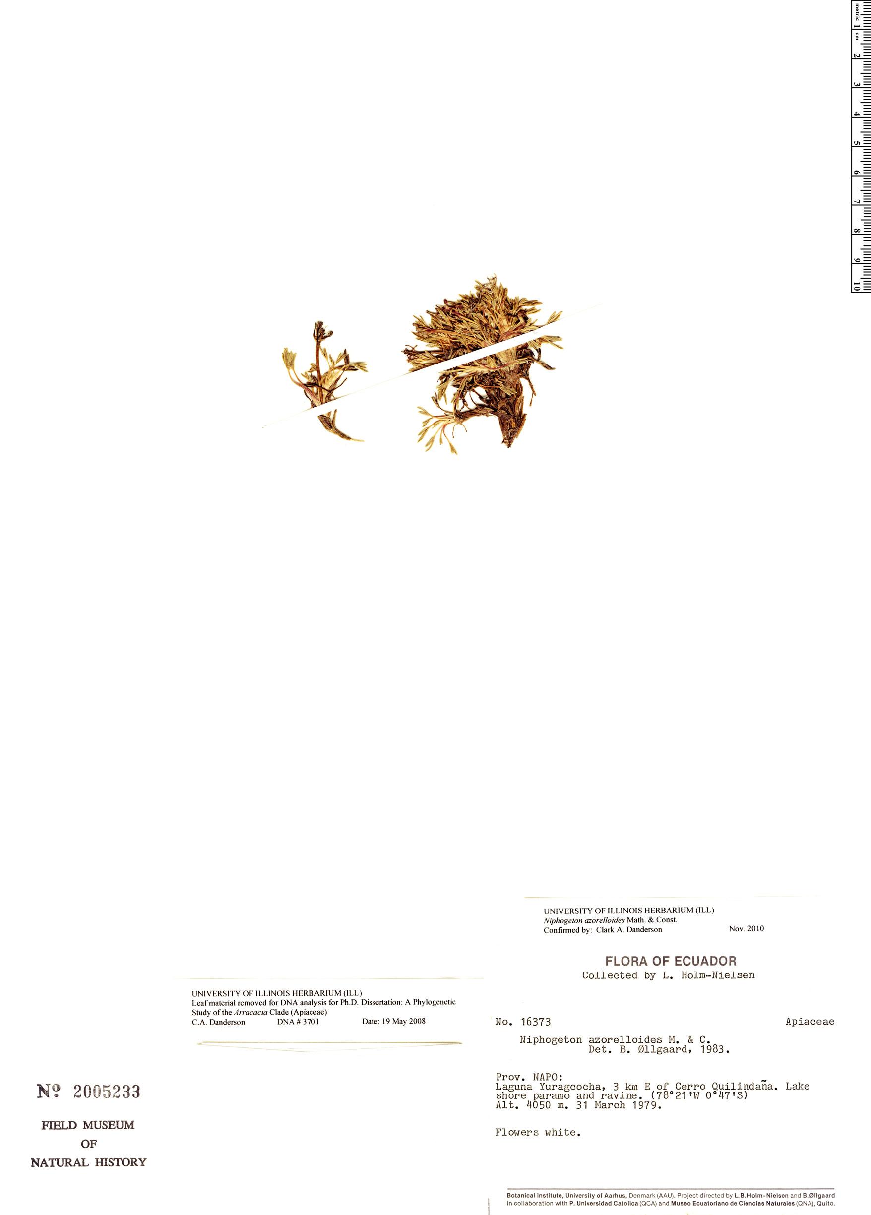 Specimen: Niphogeton azorelloides