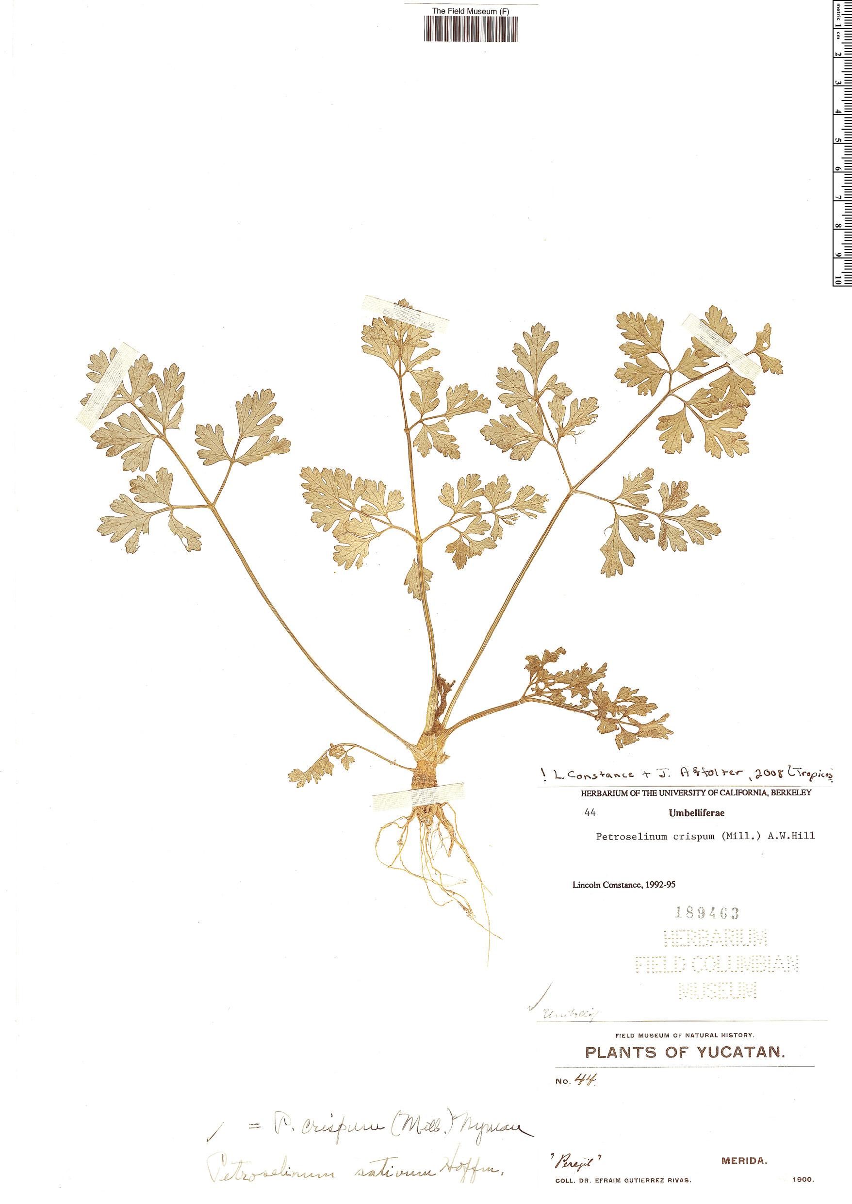 Espécime: Petroselinum crispum