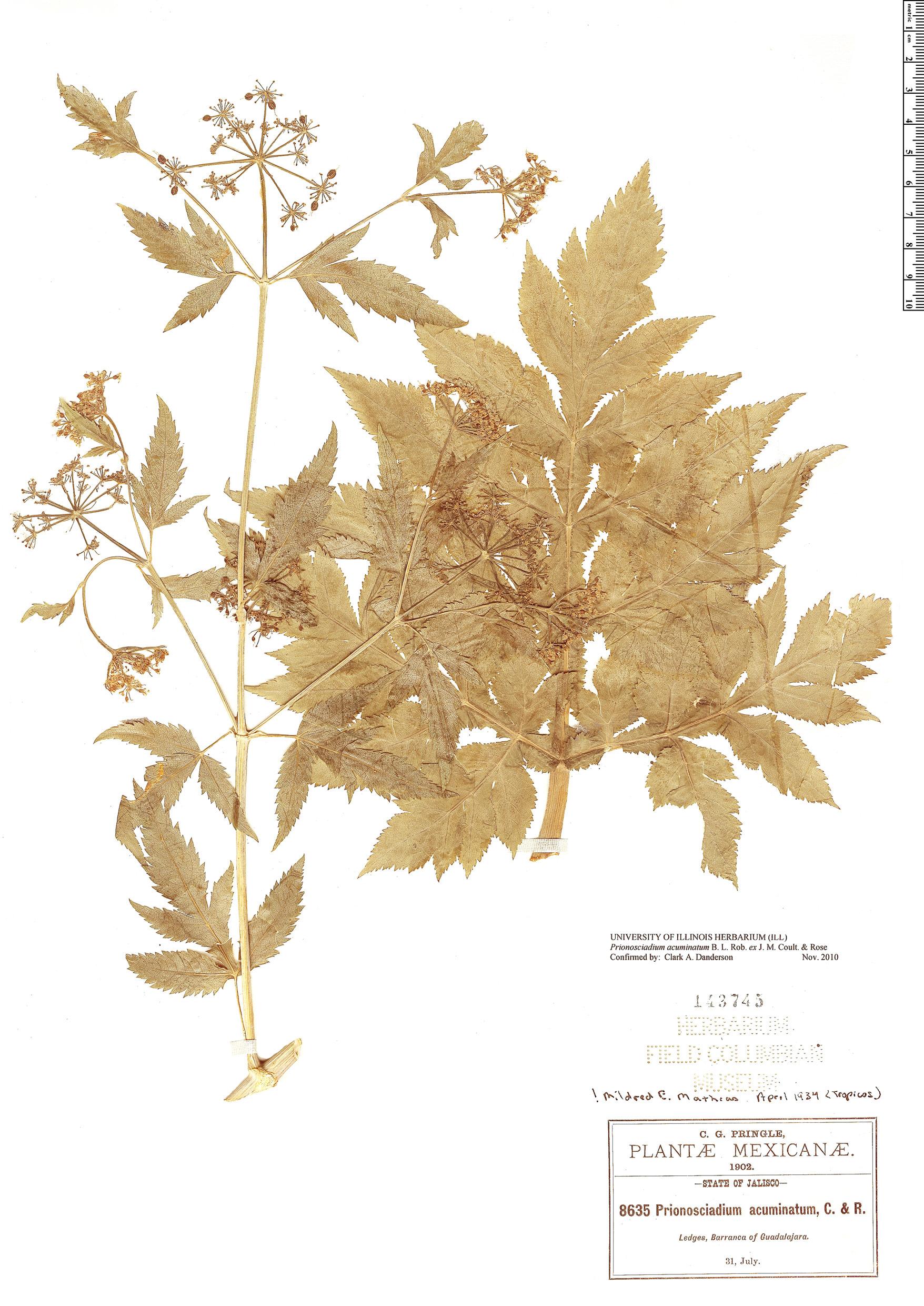 Specimen: Prionosciadium acuminatum