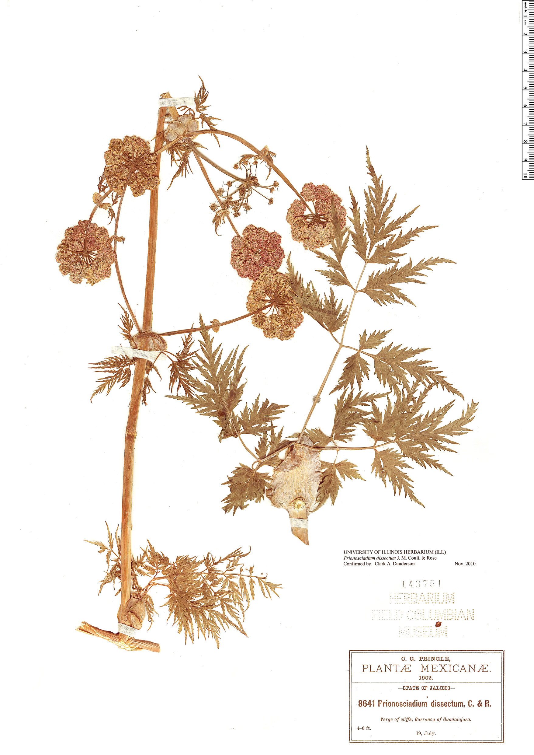 Specimen: Prionosciadium dissectum