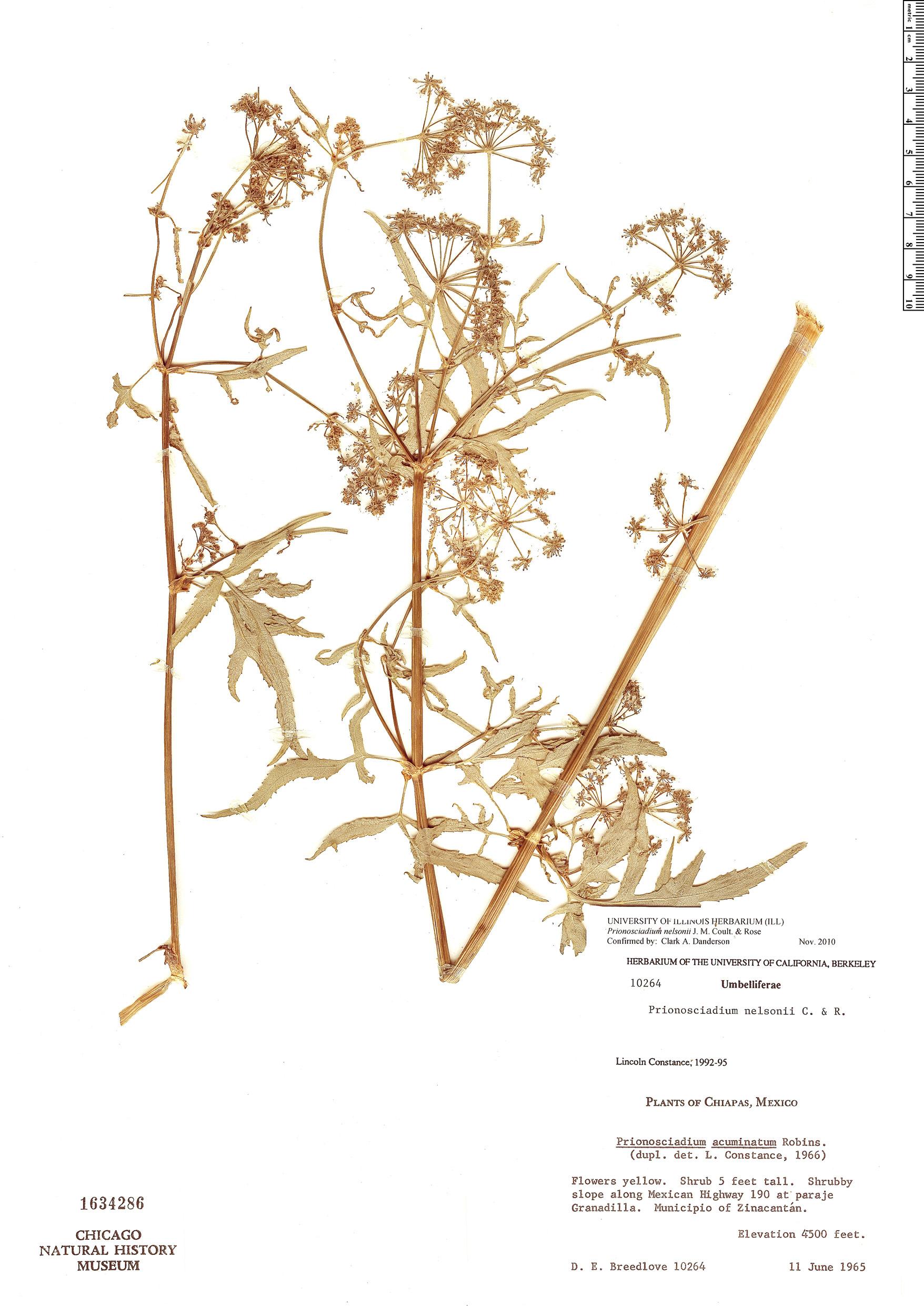 Specimen: Prionosciadium nelsonii