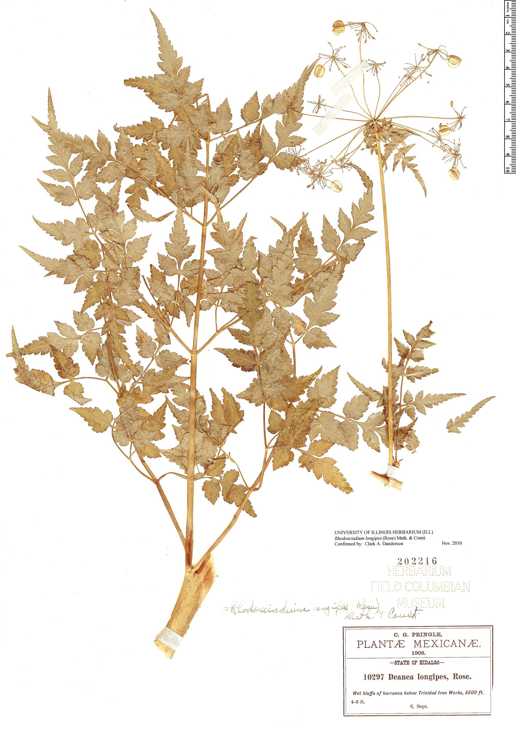 Specimen: Rhodosciadium longipes